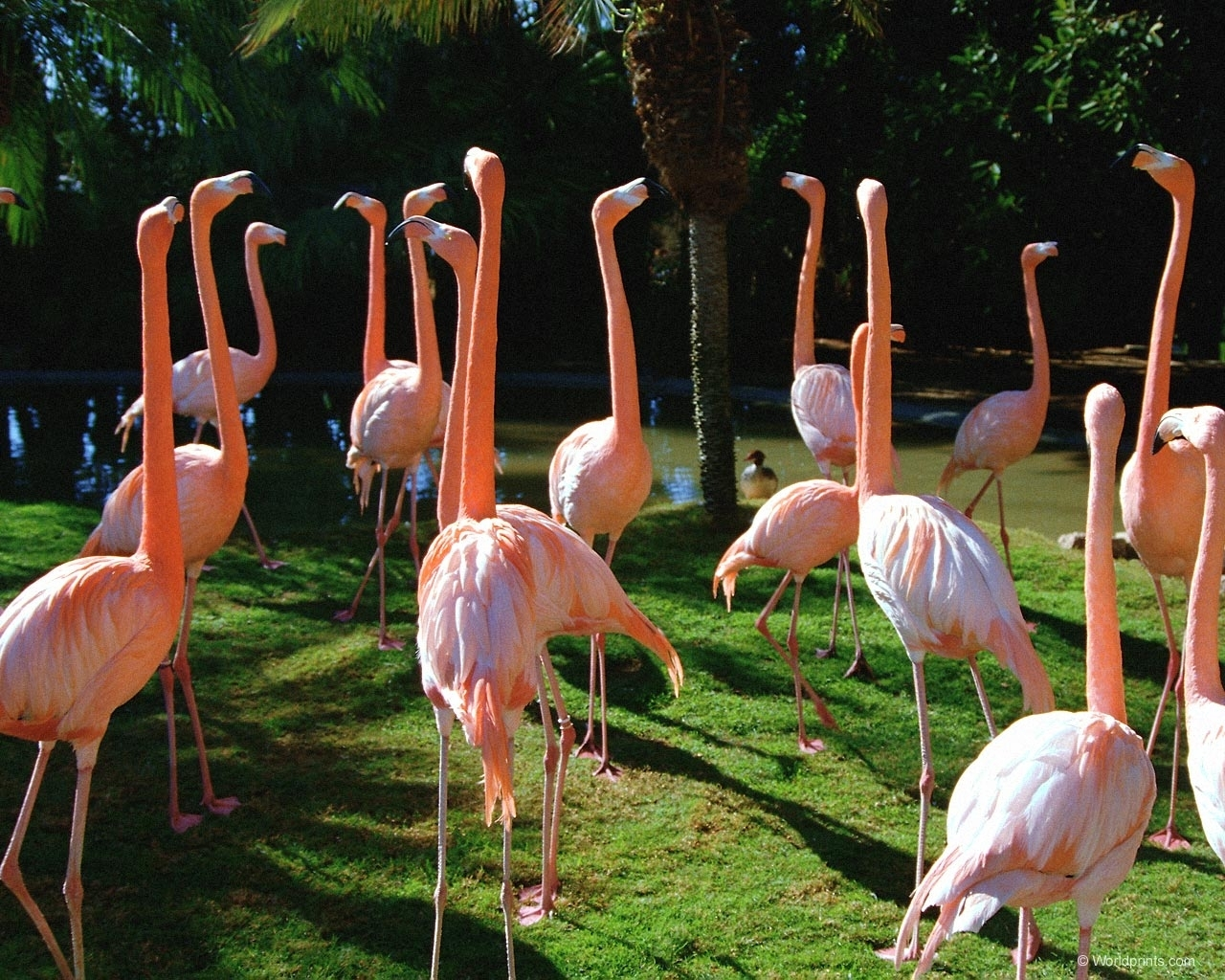5798 download wallpaper Animals, Birds, Flamingo screensavers and pictures for free
