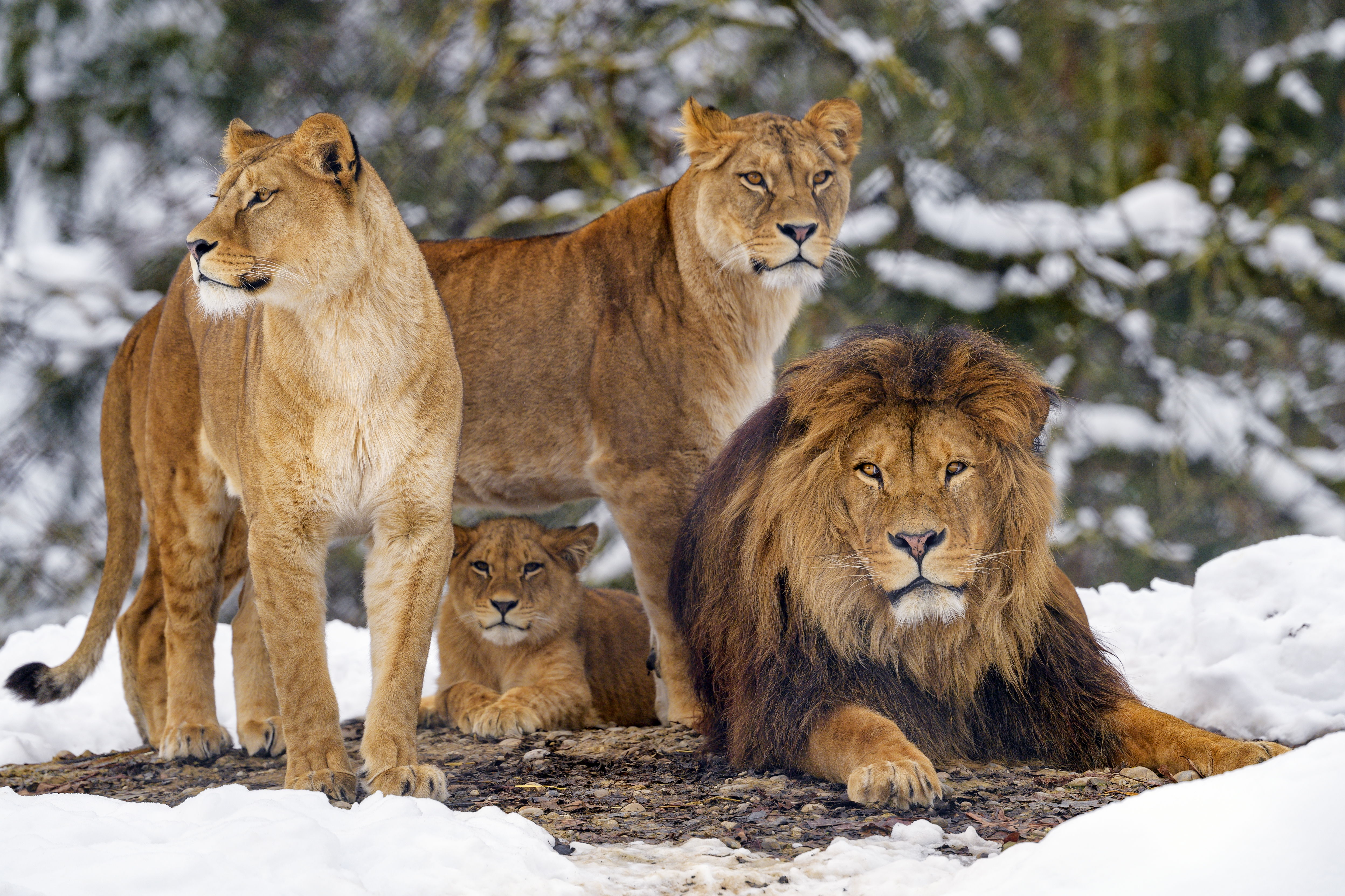 53830 download wallpaper Animals, Predators, Brown, Wildlife, Lions screensavers and pictures for free