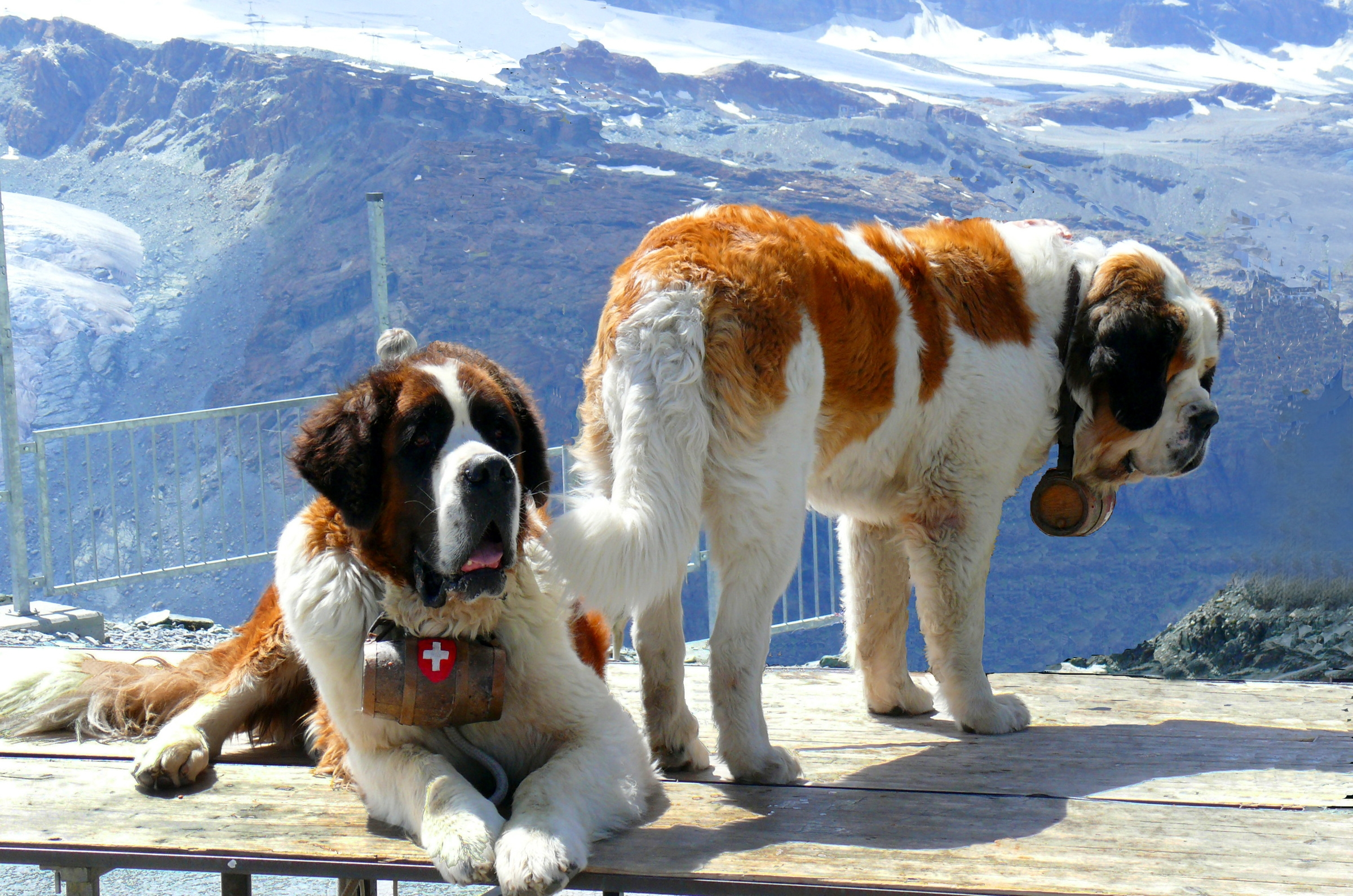 154833 download wallpaper Animals, St. Bernards, St. Bernard, Dogs, Snow, Rescuers, Mountains screensavers and pictures for free