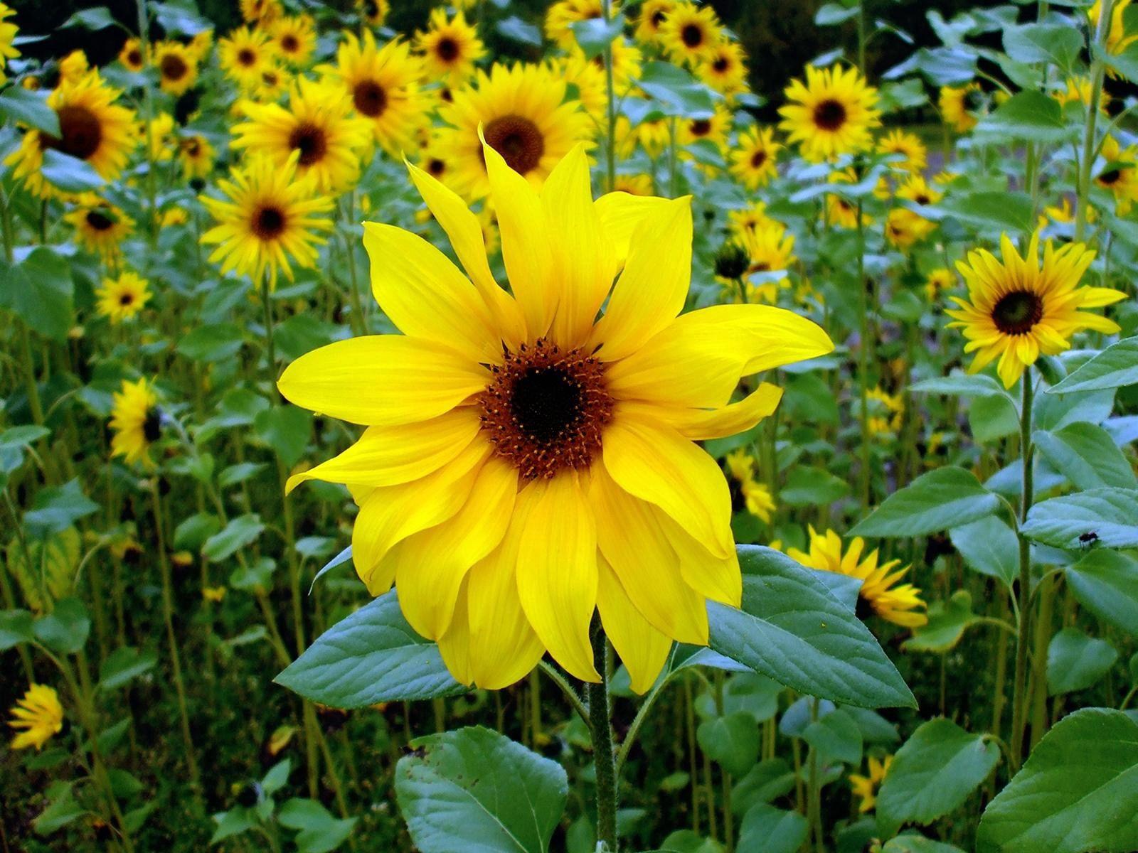 128522 скачать обои Цветы, Подсолнухи, Зелень, Крупный План, Молодые - заставки и картинки бесплатно