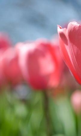 44988 скачать обои Растения, Цветы, Тюльпаны - заставки и картинки бесплатно