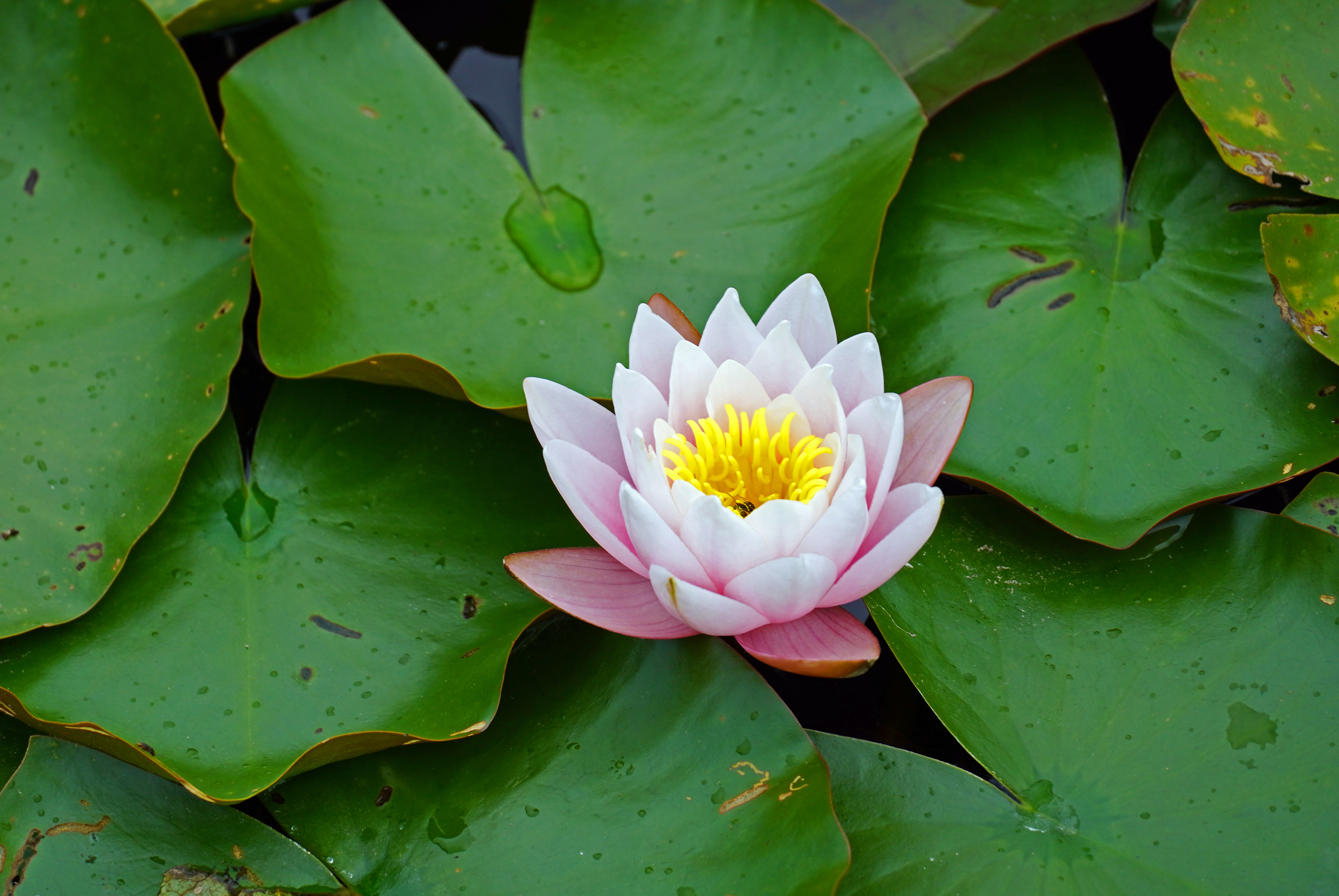88662 download wallpaper Flowers, Leaves, Flower, Petals, Bloom, Flowering, Water Lily screensavers and pictures for free