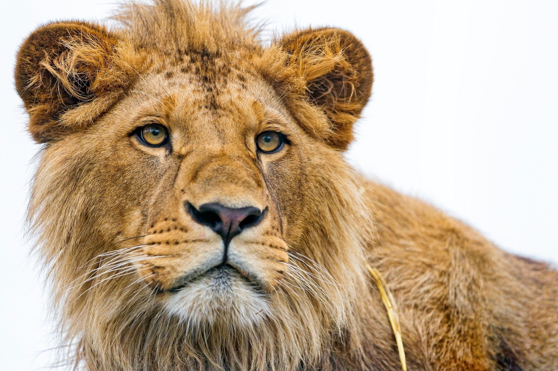 106837 Screensavers and Wallpapers Young for phone. Download Animals, Young, Muzzle, Lion, Predator, Sight, Opinion pictures for free