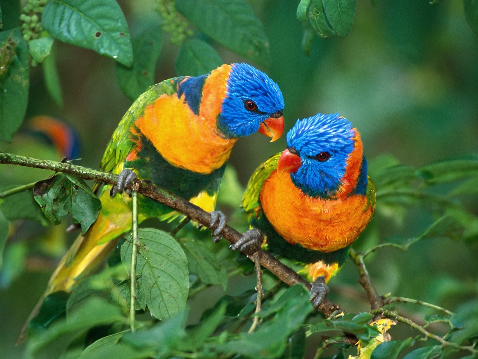19088 download wallpaper Animals, Birds, Parrots screensavers and pictures for free