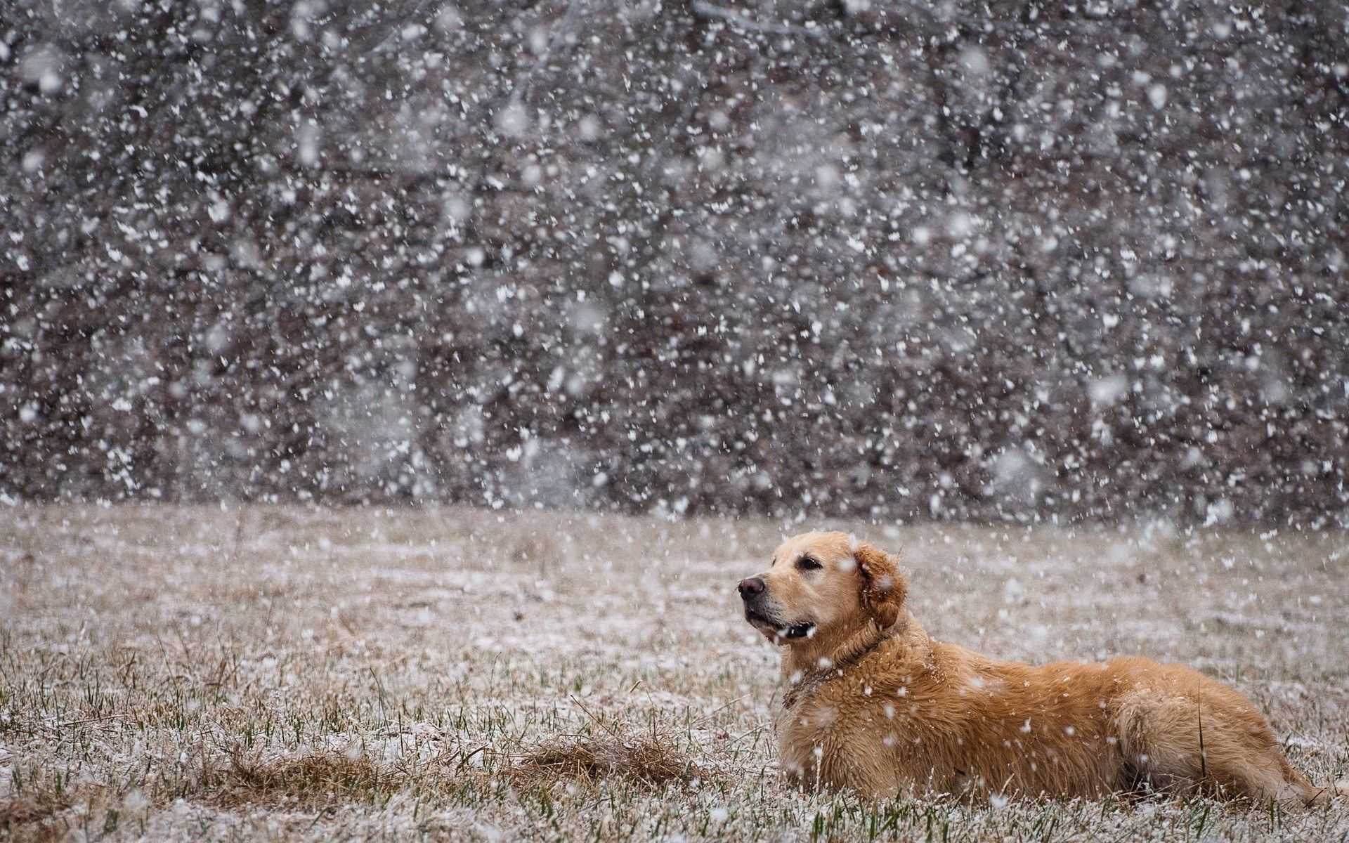 71246 download wallpaper Animals, Dog, Snow, To Lie Down, Lie, Field, Labrador screensavers and pictures for free