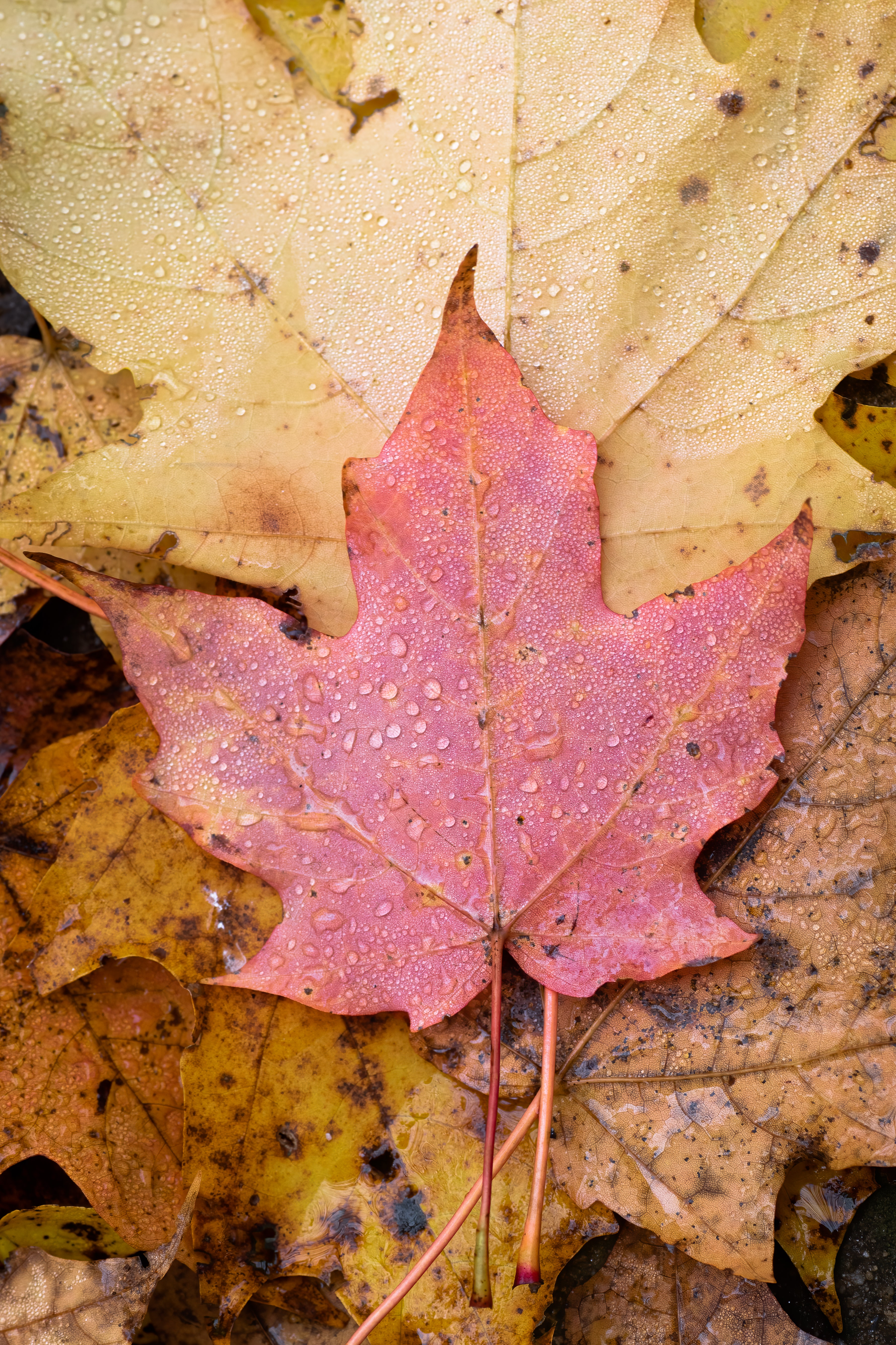 118324 download wallpaper Macro, Leaflet, Maple, Wet, Autumn screensavers and pictures for free
