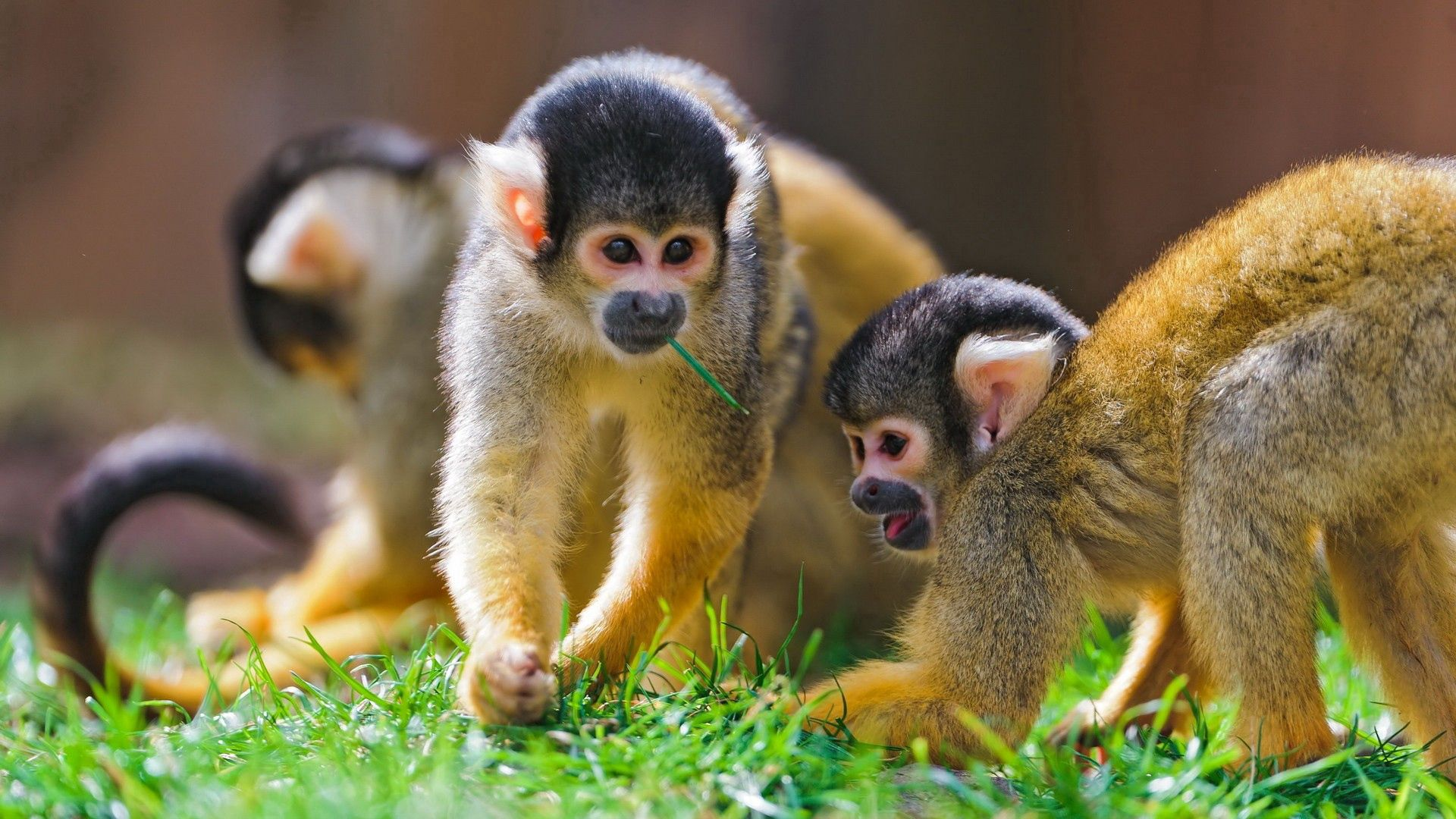 150297 Screensavers and Wallpapers Monkeys for phone. Download Animals, Grass, Monkeys, Stroll, Family, Playful pictures for free