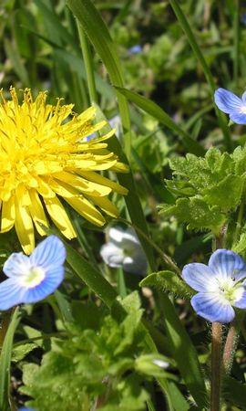4066 скачать обои Растения, Цветы, Одуванчики - заставки и картинки бесплатно