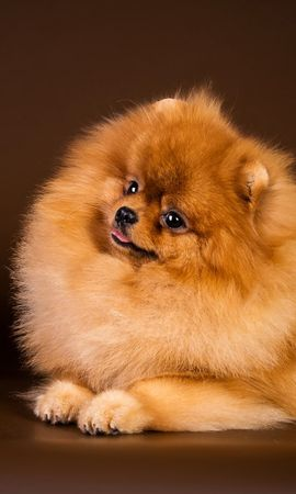 134896 download wallpaper Animals, Spitz, Casket, Dog, To Lie Down, Lie, Puppy screensavers and pictures for free