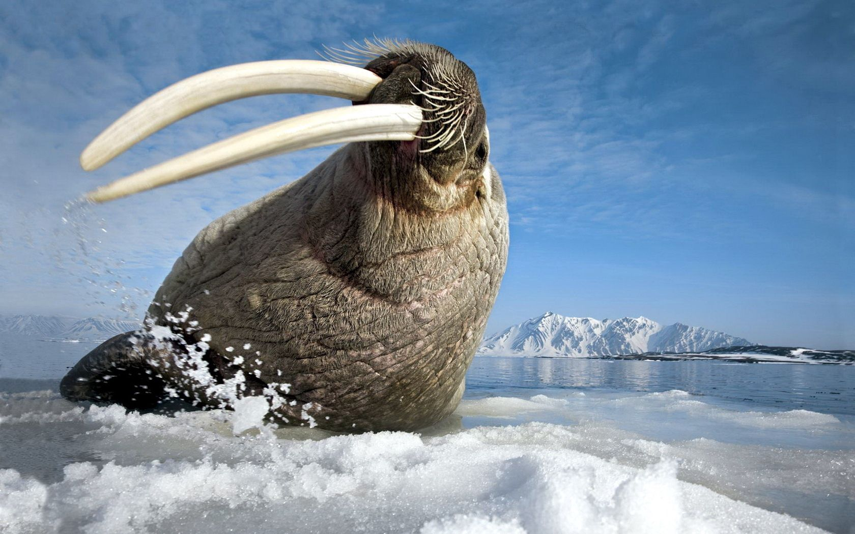 102943 download wallpaper Animals, Walrus, Tusks, Fangs, Sea, Gesture, Bounce, Jump, Hunting, Hunt screensavers and pictures for free