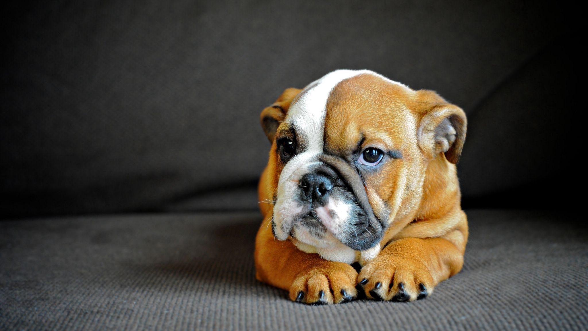 72407 download wallpaper Animals, English Bulldog, Puppy, Dog, Muzzle, Sight, Opinion screensavers and pictures for free
