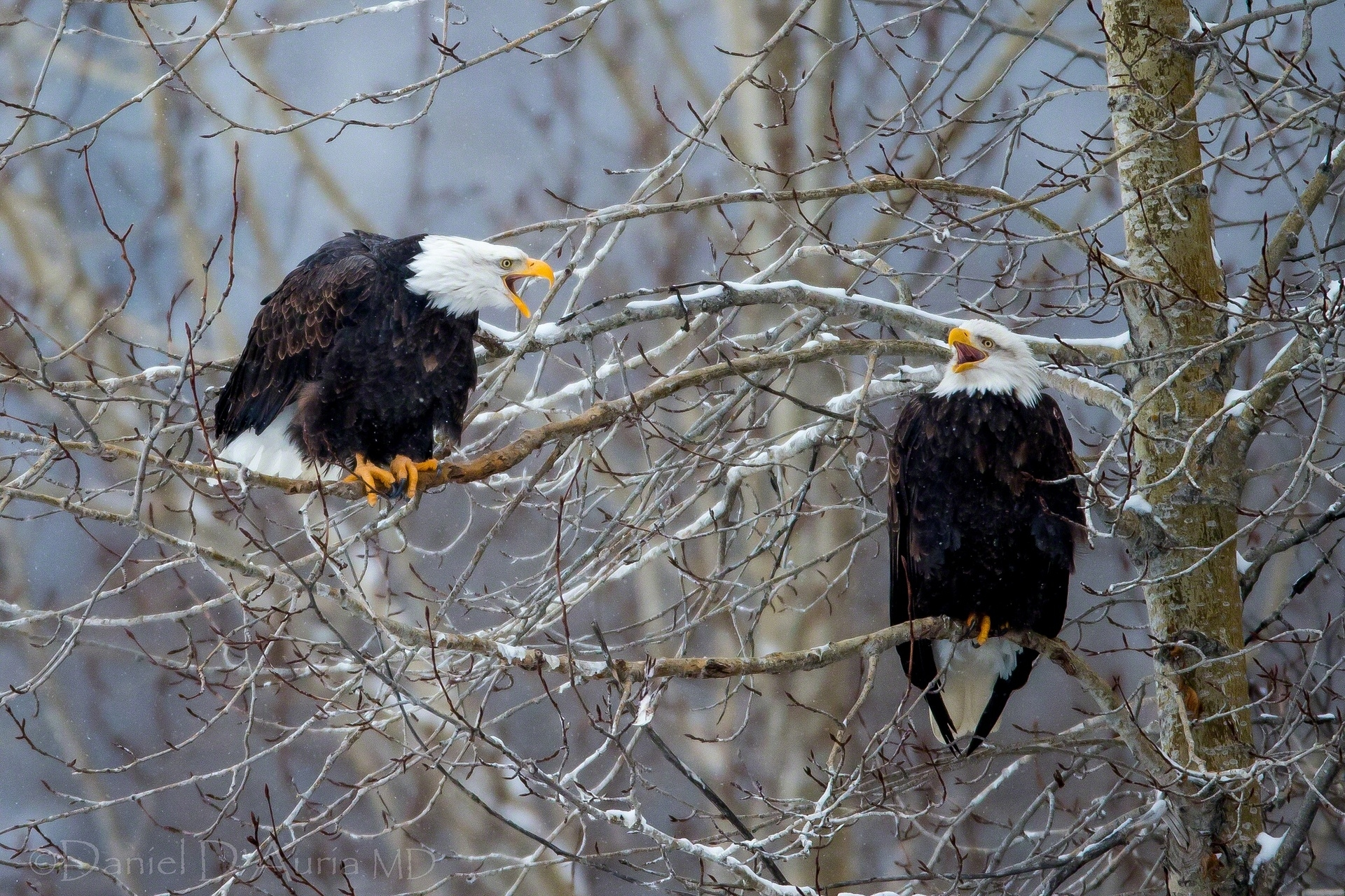 117926 download wallpaper Animals, Bald Eagle, White-Headed Eagle, Wood, Tree, Branches, Birds screensavers and pictures for free