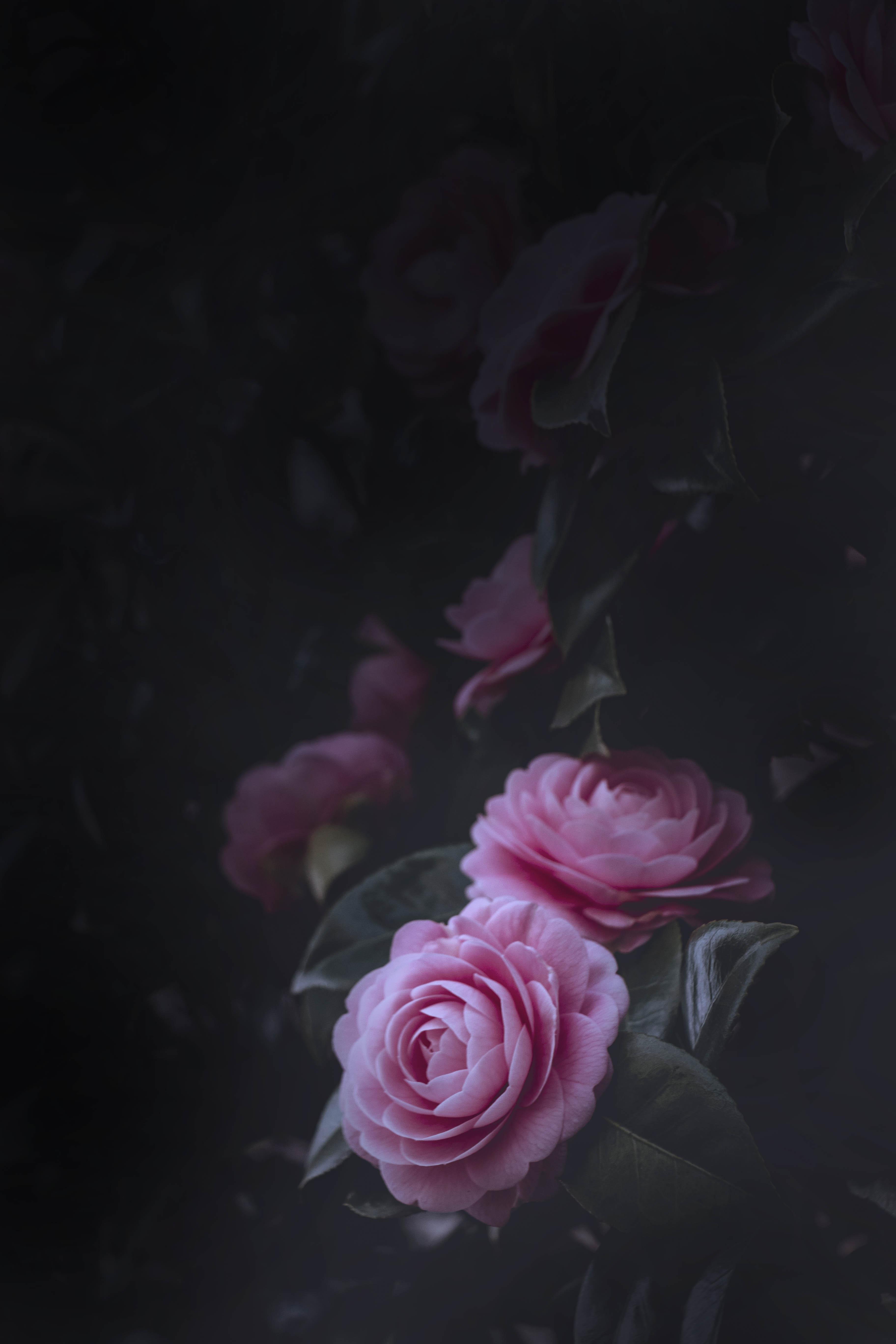 89133 Заставки и Обои Розы на телефон. Скачать Розы, Бутоны, Цветы, Цветение, Розовый, Куст картинки бесплатно