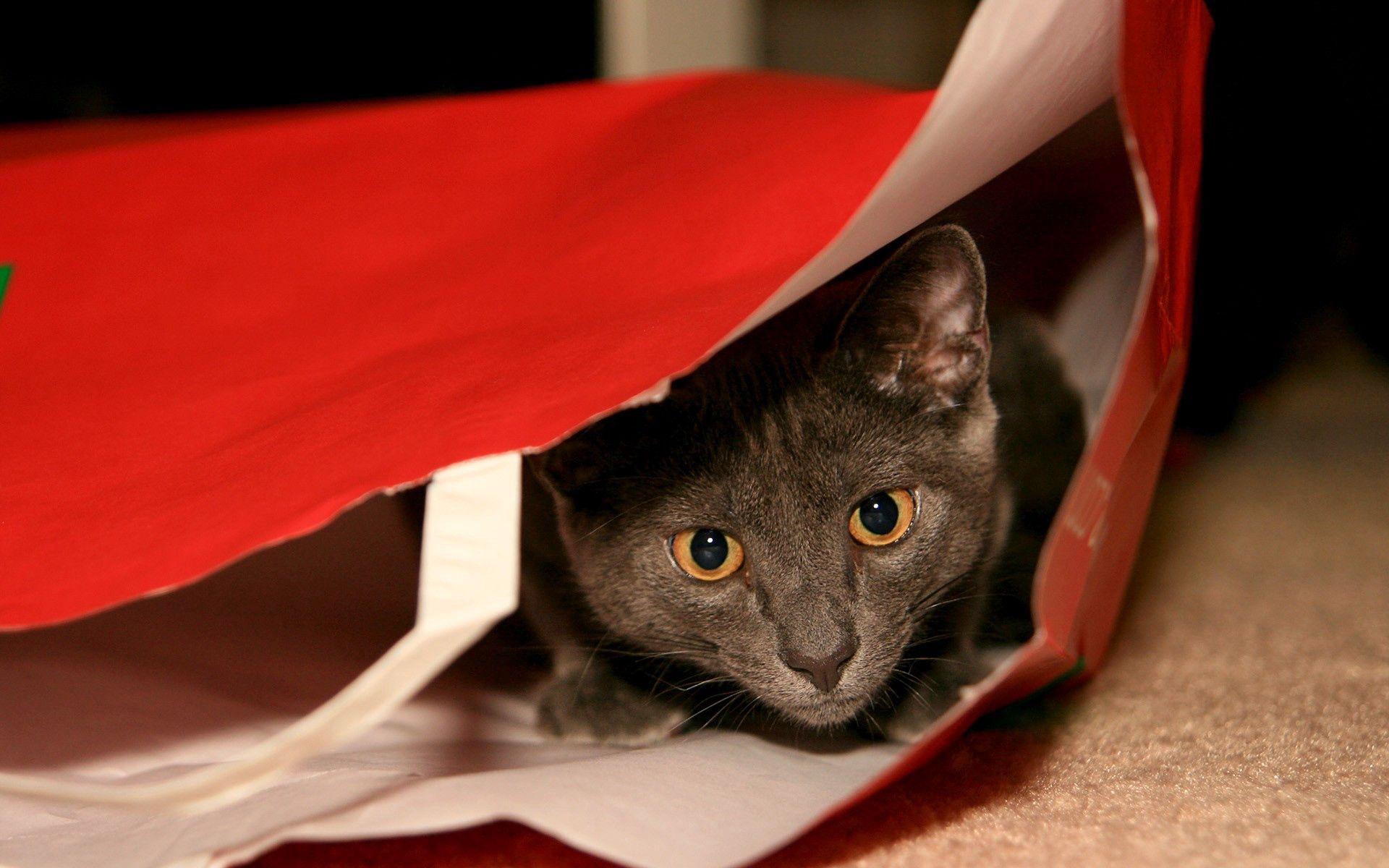 105749 скачать обои Животные, Кот, Серый, Пакет, Прятки, Морда, Взгляд - заставки и картинки бесплатно