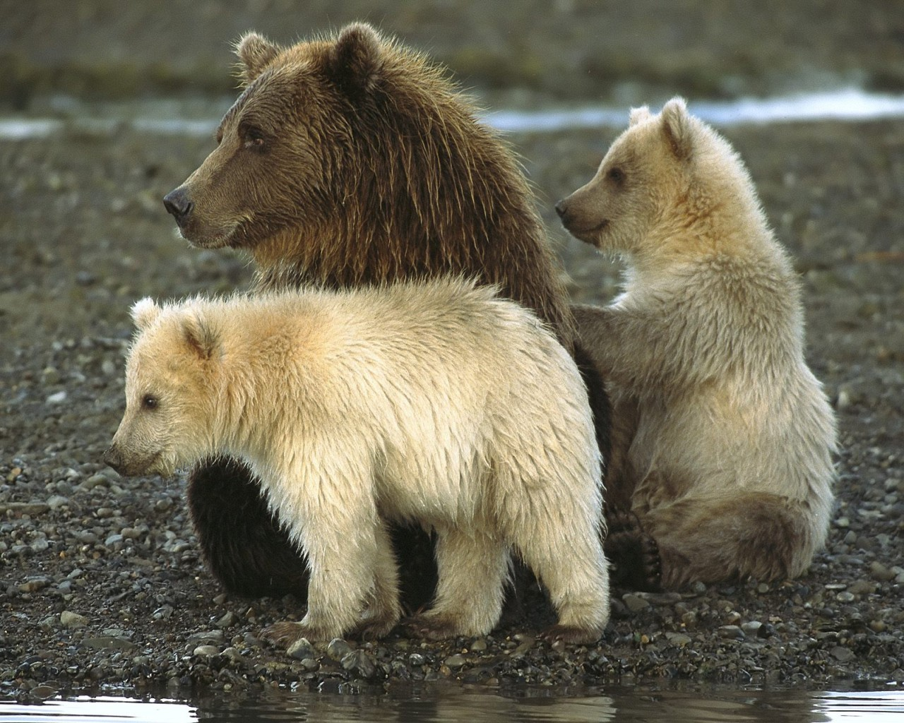 5516 download wallpaper Animals, Bears screensavers and pictures for free