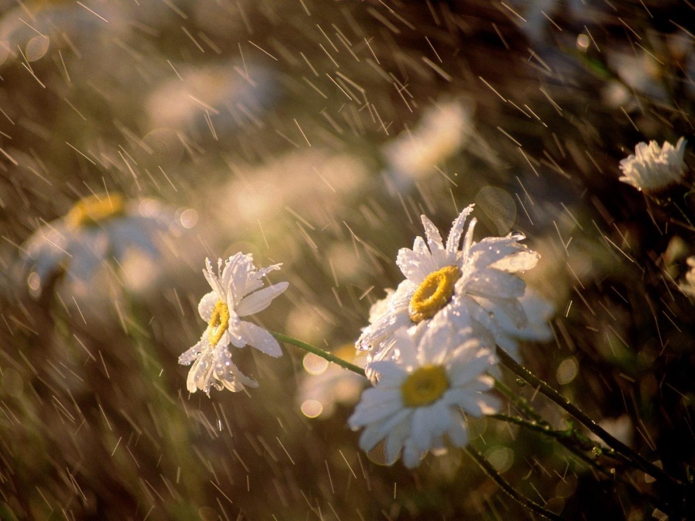 48934 скачать обои Растения, Цветы, Ромашки - заставки и картинки бесплатно