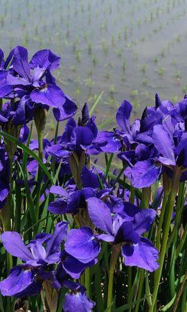 145218 скачать Фиолетовые обои на телефон бесплатно, Цветы, Ирисы, Клумба, Зелень, Берег, Вода Фиолетовые картинки и заставки на мобильный