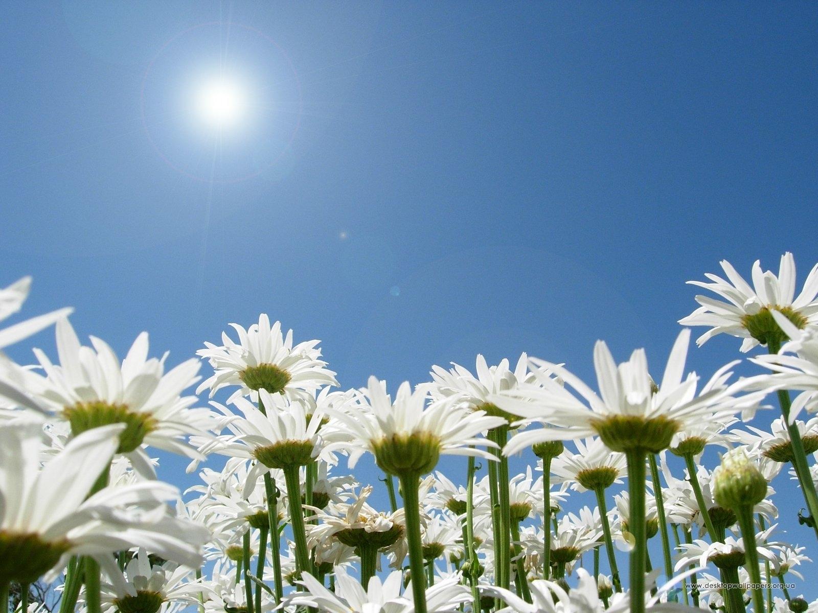 4635 скачать обои Растения, Цветы, Небо, Солнце, Ромашки - заставки и картинки бесплатно