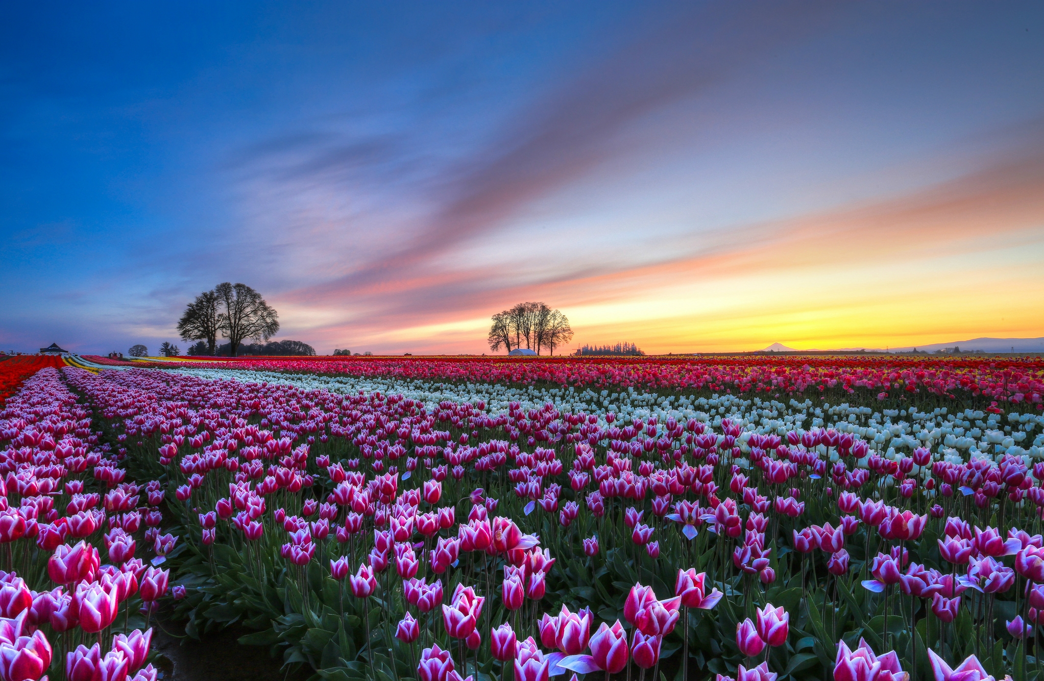 134413 Hintergrundbild herunterladen Tulpen, Natur, Blumen, Bäume, Sunset, Sky, Clouds, Mehrfarbig, Feld, Abend, Bunten - Bildschirmschoner und Bilder kostenlos