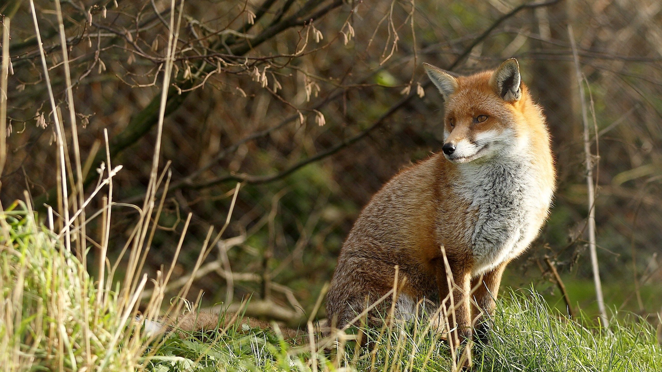 127609 download wallpaper Animals, Fox, Grass, Sit, Predator screensavers and pictures for free
