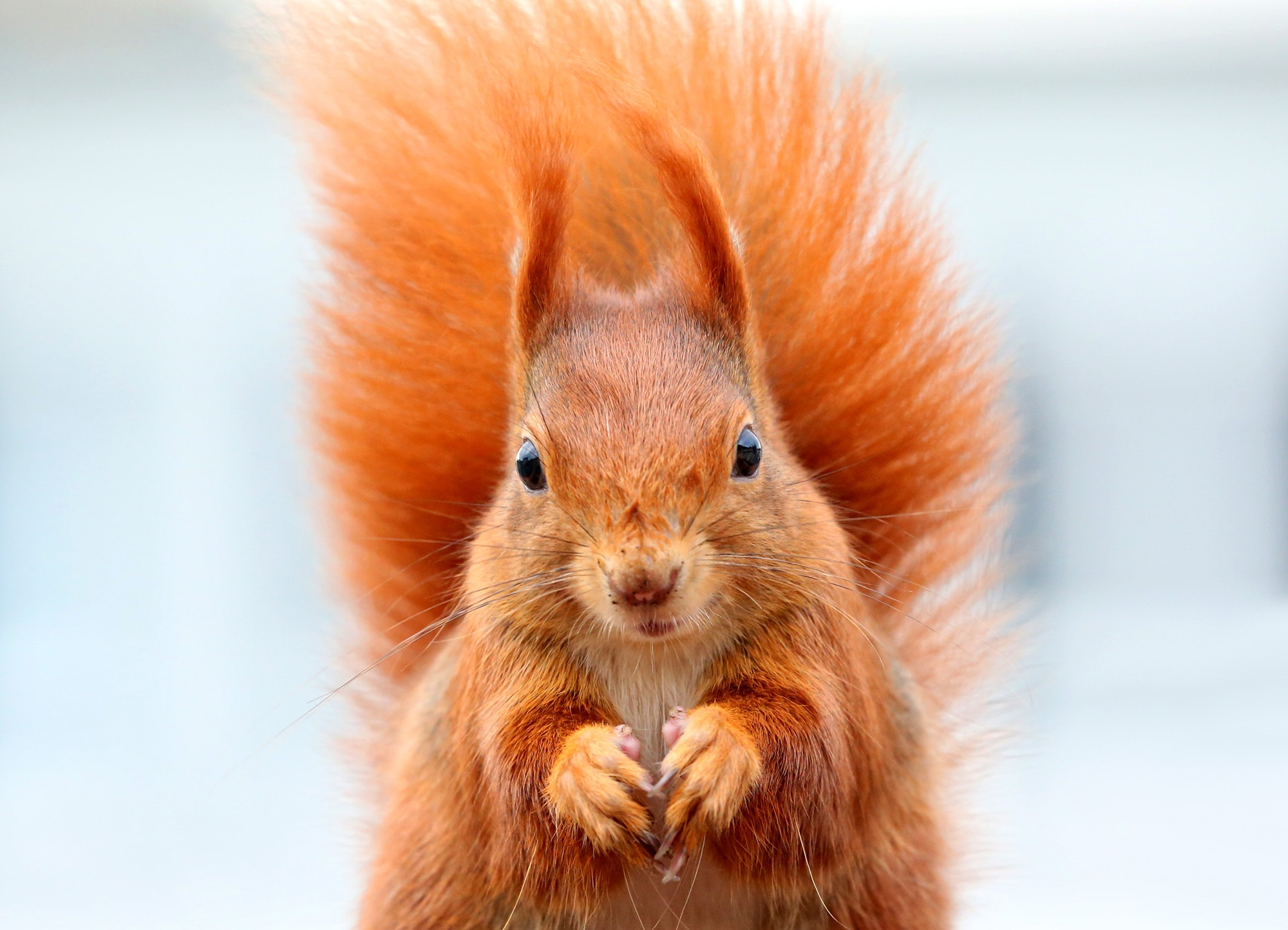 84723 Screensavers and Wallpapers Squirrel for phone. Download Animals, Squirrel, Muzzle, Animal, Fluffy Tail pictures for free