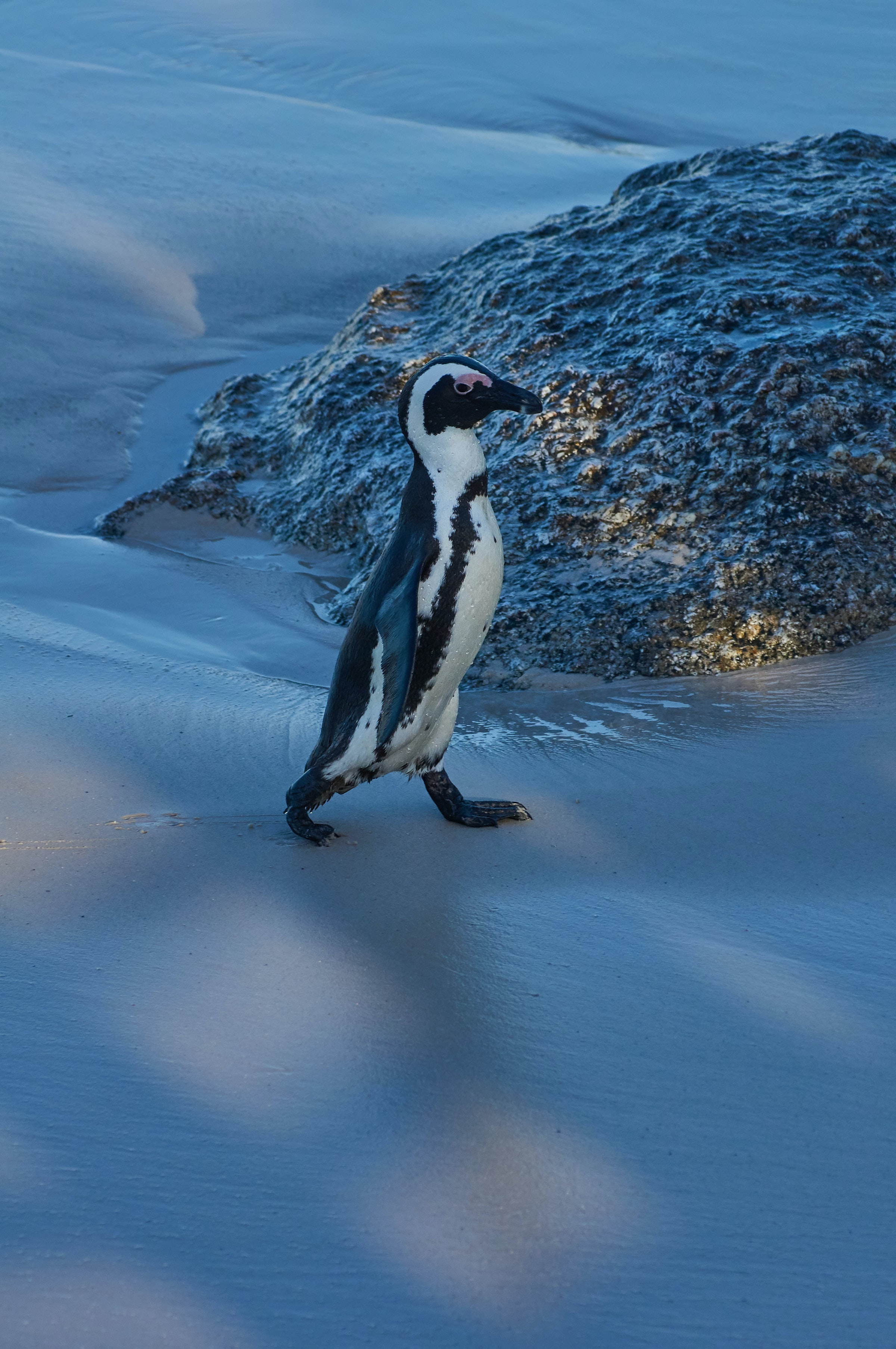 103244 download wallpaper Animals, Penguin, Animal, Funny, Ice, Snow, Snow Covered, Snowbound screensavers and pictures for free