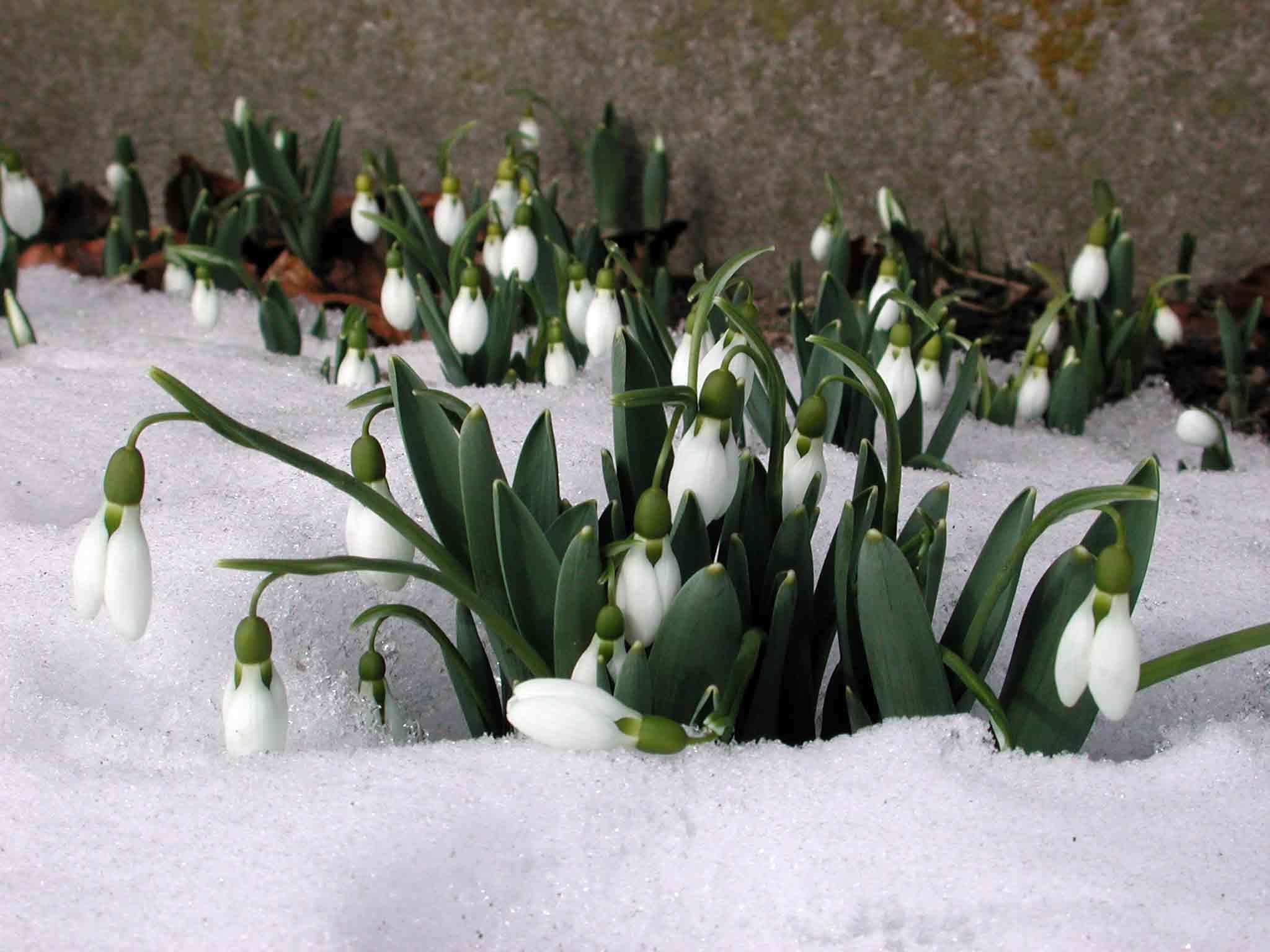 16156 Заставки и Обои Подснежники на телефон. Скачать Растения, Зима, Цветы, Подснежники картинки бесплатно