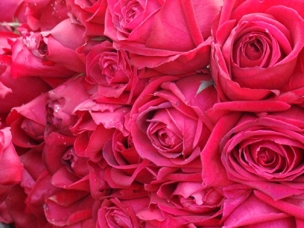 25098 télécharger le fond d'écran Plantes, Fleurs, Roses - économiseurs d'écran et images gratuitement