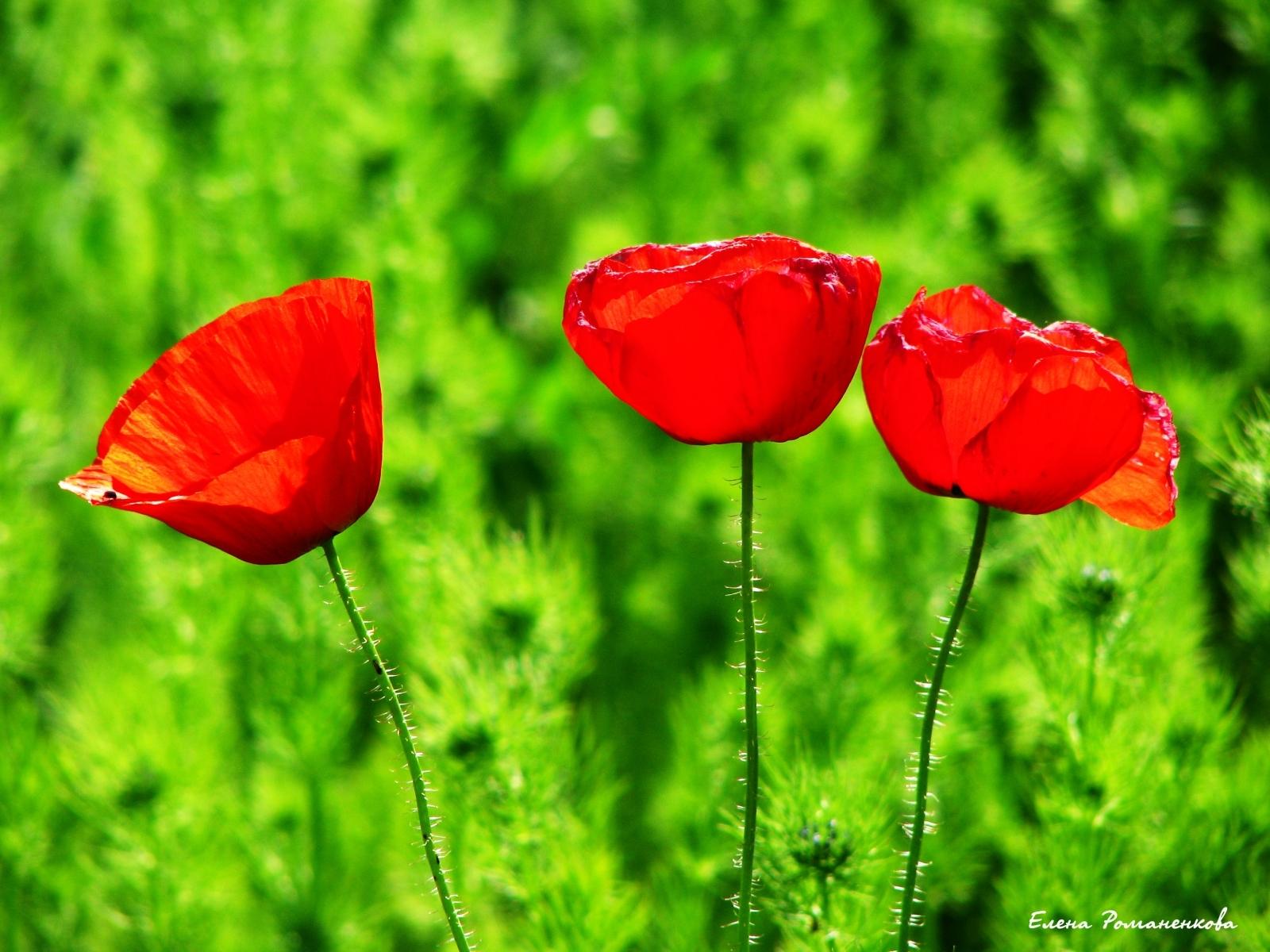 8383 скачать обои Растения, Цветы, Тюльпаны - заставки и картинки бесплатно