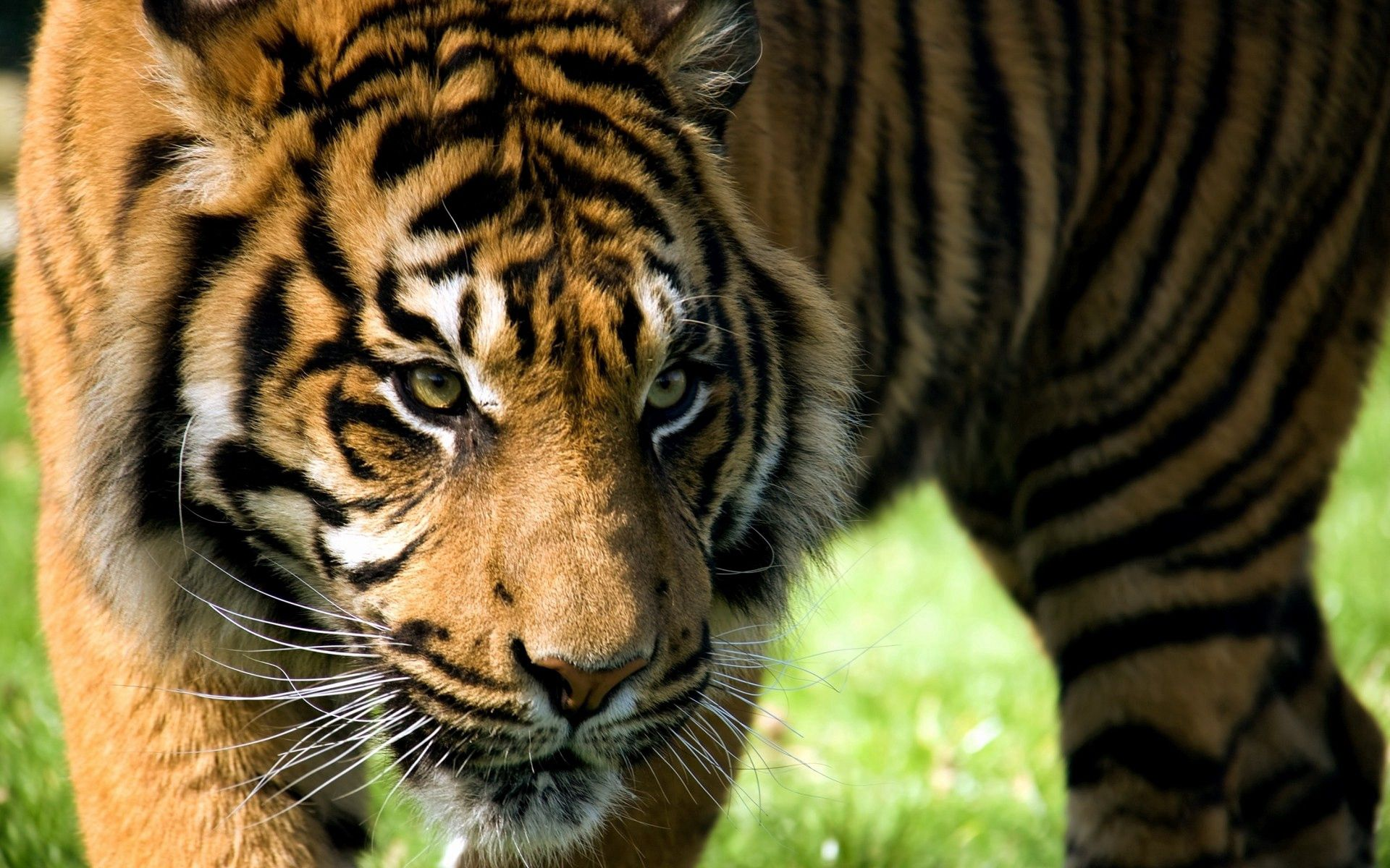 104599 download wallpaper Animals, Tiger, Muzzle, Aggression, Sight, Opinion, Predator screensavers and pictures for free