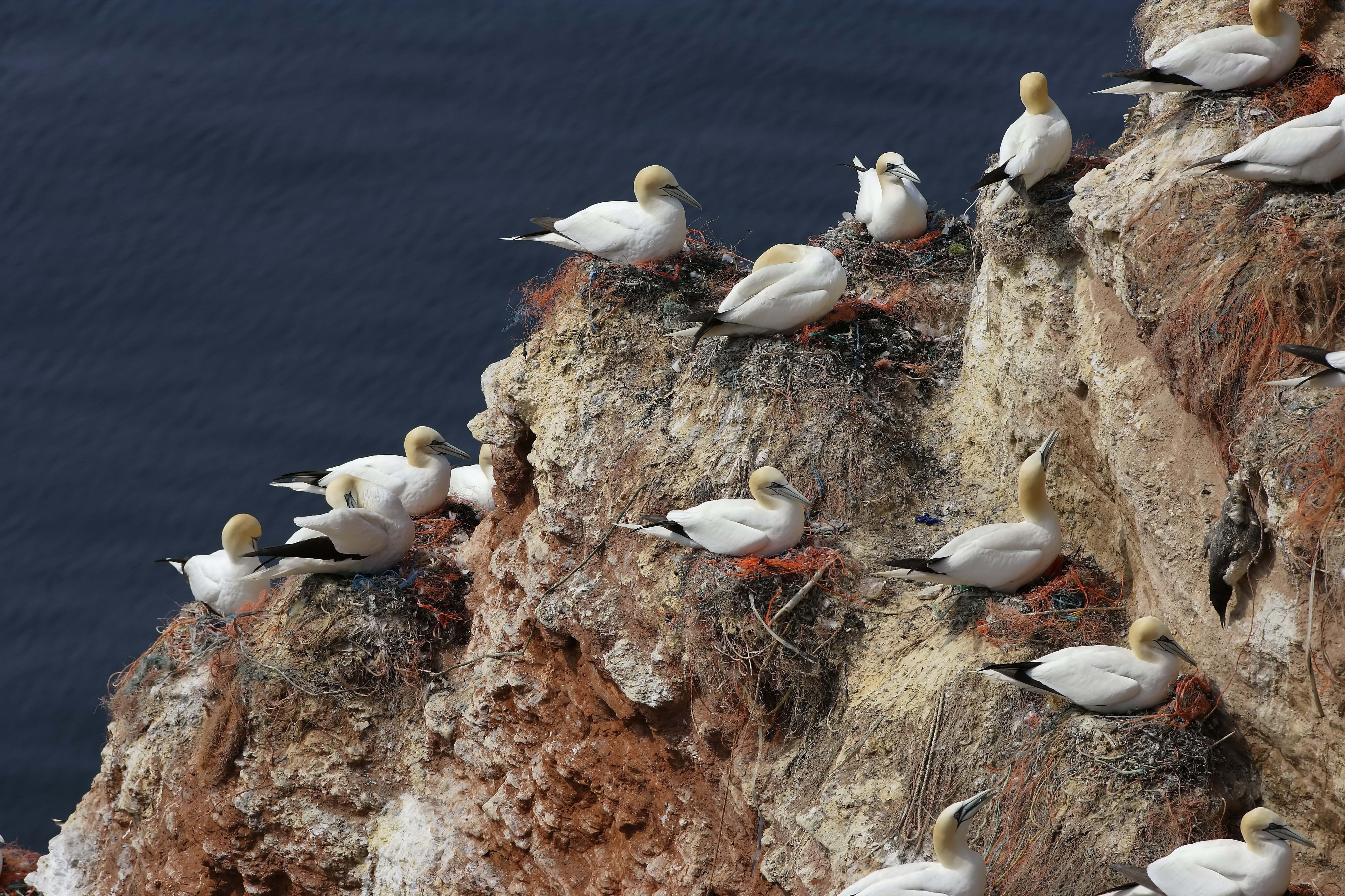 66843 download wallpaper Animals, Nest, Rock, Seagulls screensavers and pictures for free