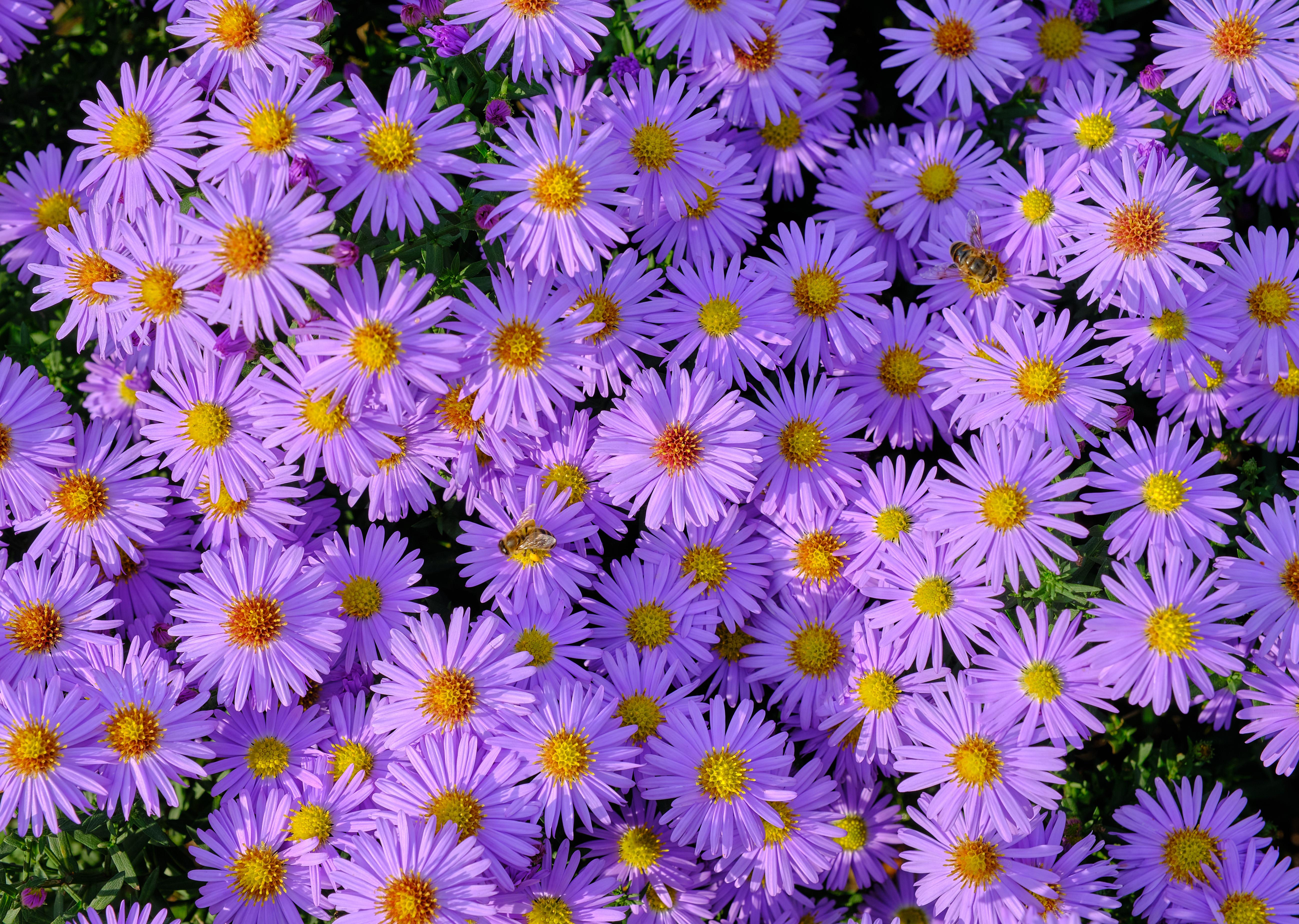 129618 завантажити шпалери Рослини, Квіти, Бджола, Сімфіотріхум, Симфіотріхум - заставки і картинки безкоштовно
