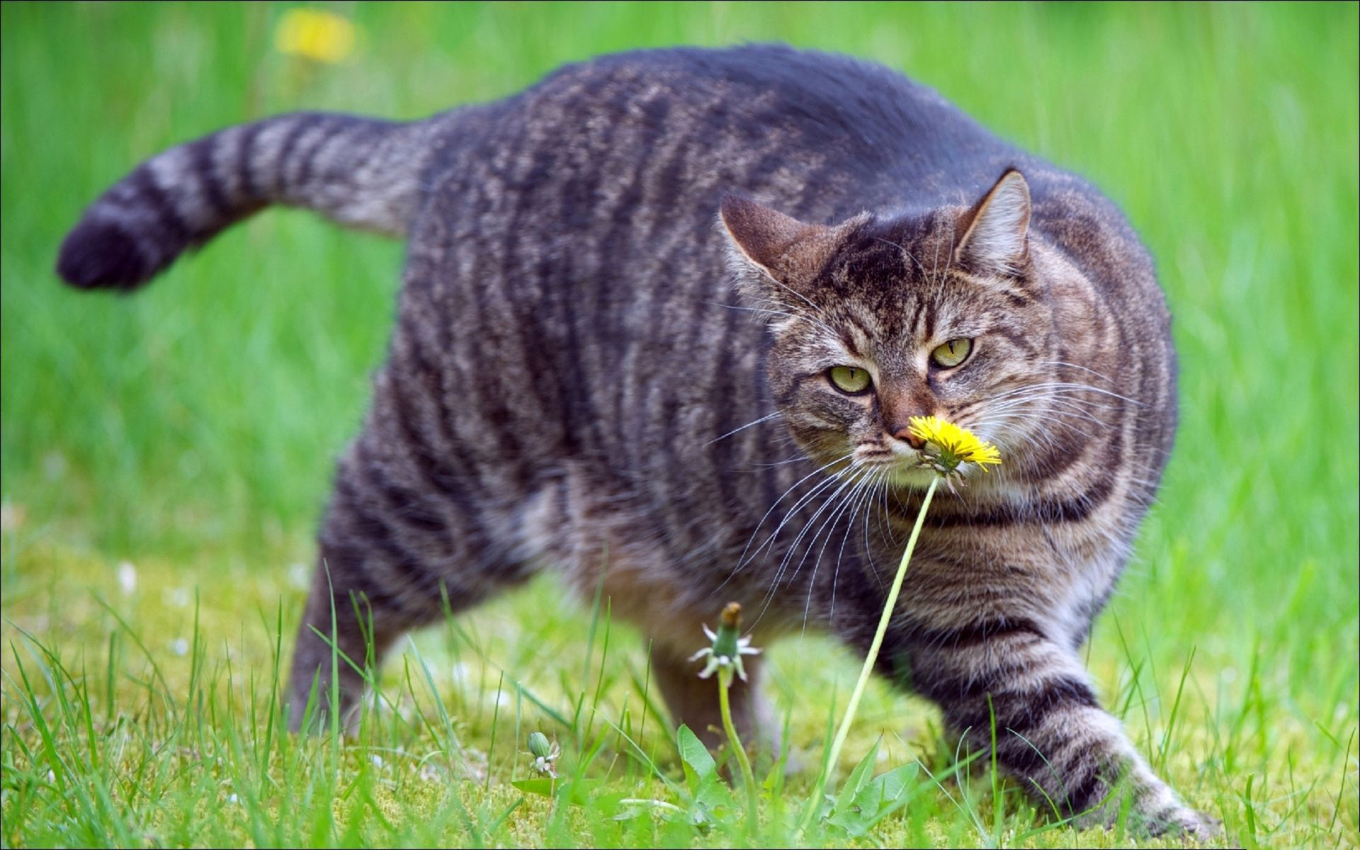 51411 download wallpaper Animals, Cat, Fat, Thick, Grass, To Sniff, Smell, Stroll screensavers and pictures for free