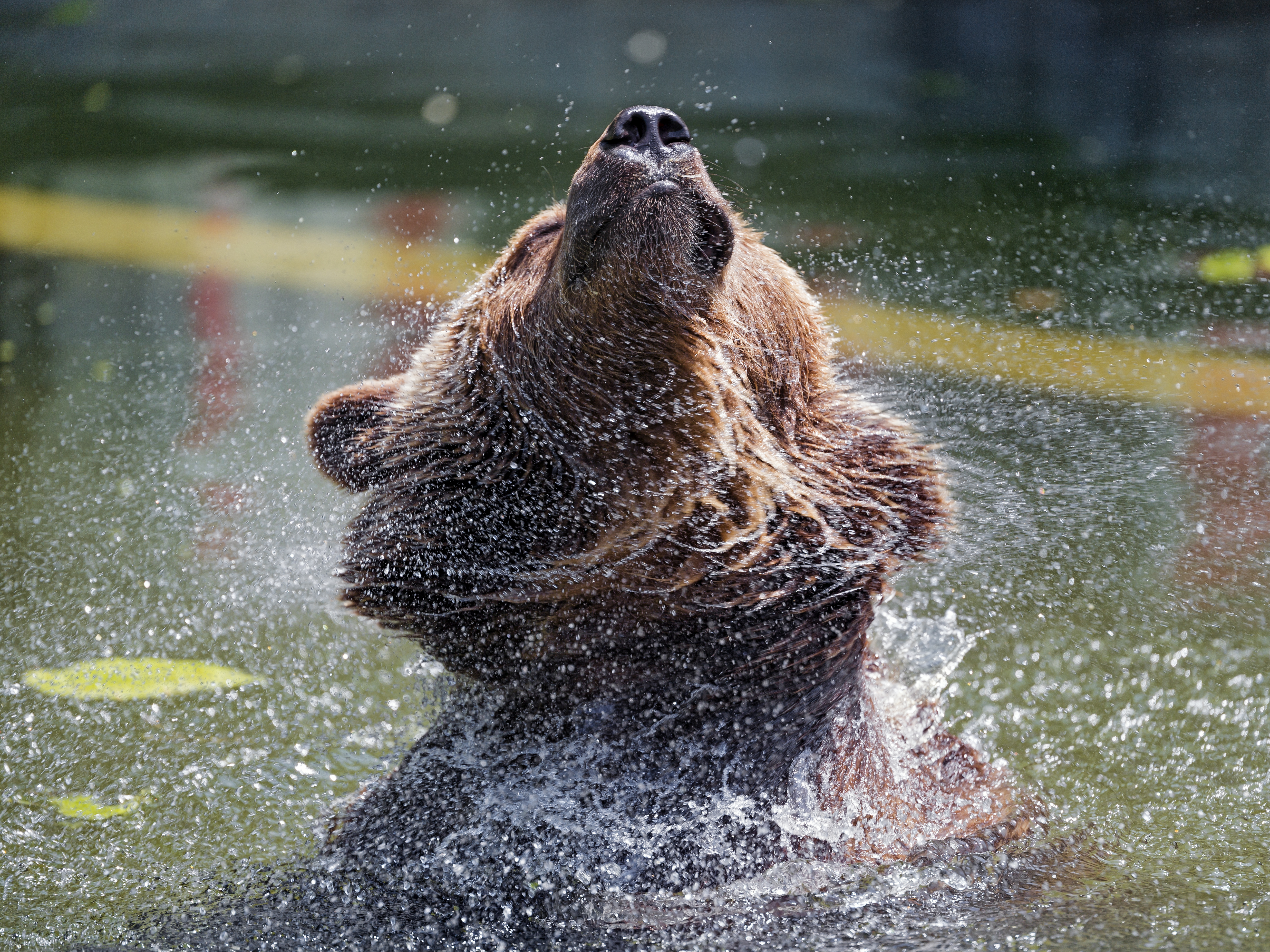 61085 download wallpaper Animals, Bear, Water, Spray, Animal, Wildlife screensavers and pictures for free
