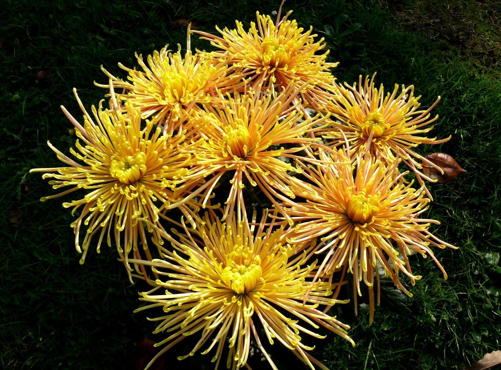 132124 скачать обои Цветы, Трава, Хризантемы - заставки и картинки бесплатно