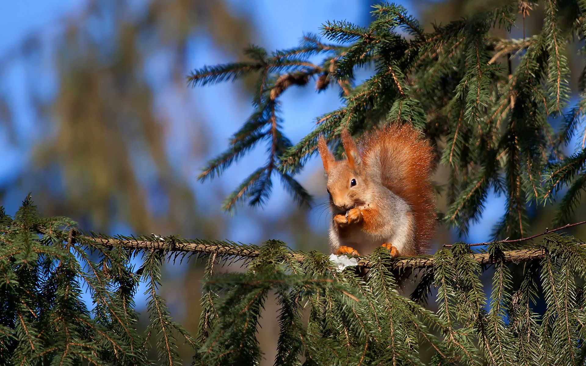 95005 Screensavers and Wallpapers Squirrel for phone. Download Animals, Squirrel, Pine, Sit, Tail pictures for free