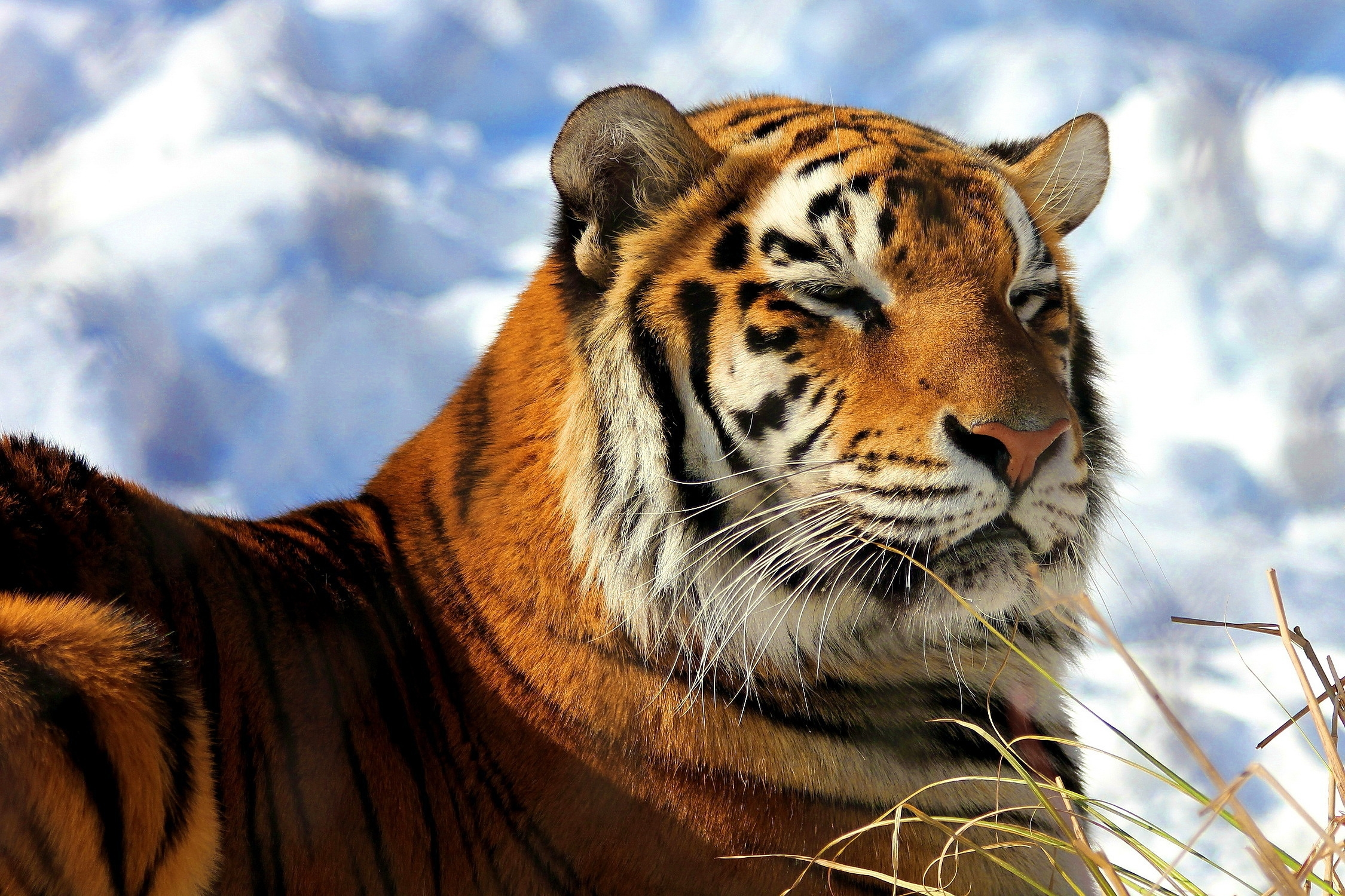 68874 download wallpaper Animals, Tiger, Grass, Sky, Clouds, To Lie Down, Lie, Predator, Big Cat screensavers and pictures for free