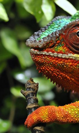 50629 download wallpaper Animals, Chameleon, Sight, Opinion, Grass, Color screensavers and pictures for free