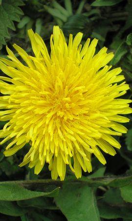 6619 скачать обои Растения, Цветы, Одуванчики - заставки и картинки бесплатно