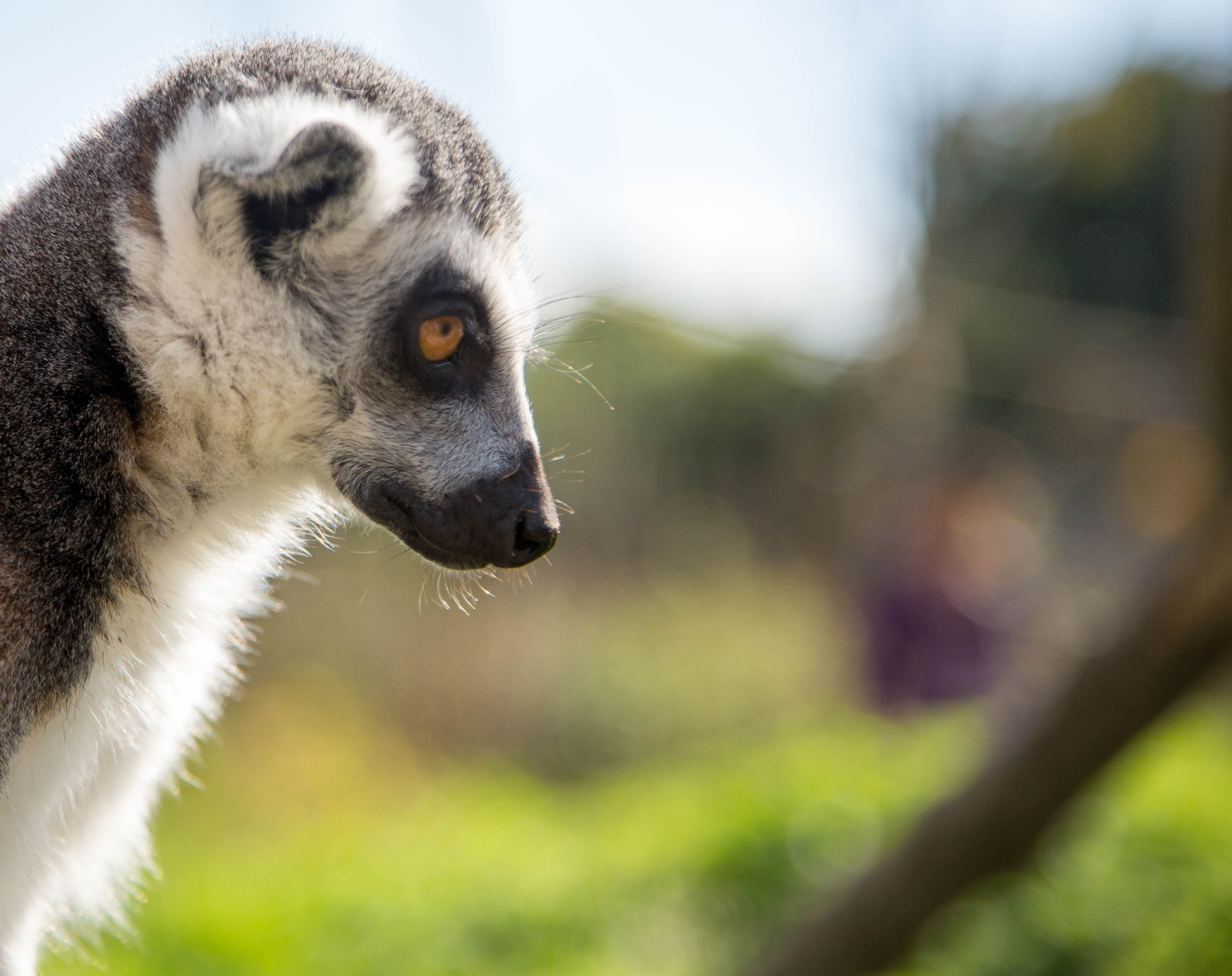 111429 download wallpaper Animals, Lemur, Muzzle, Profile, Sight, Opinion screensavers and pictures for free