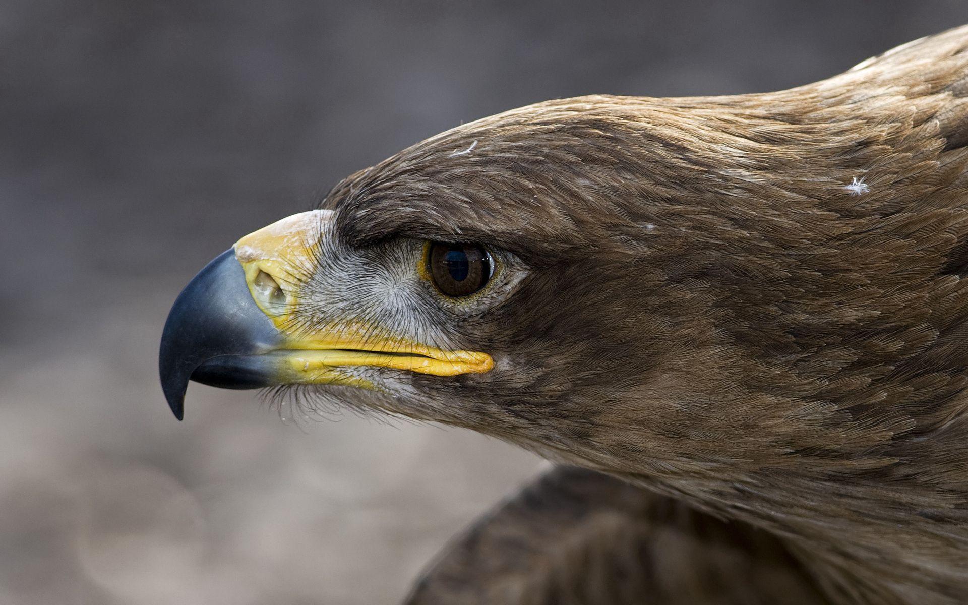 130169 скачать обои Животные, Птица, Макро, Орлан, Голова, Клюв, Профиль, Перья - заставки и картинки бесплатно
