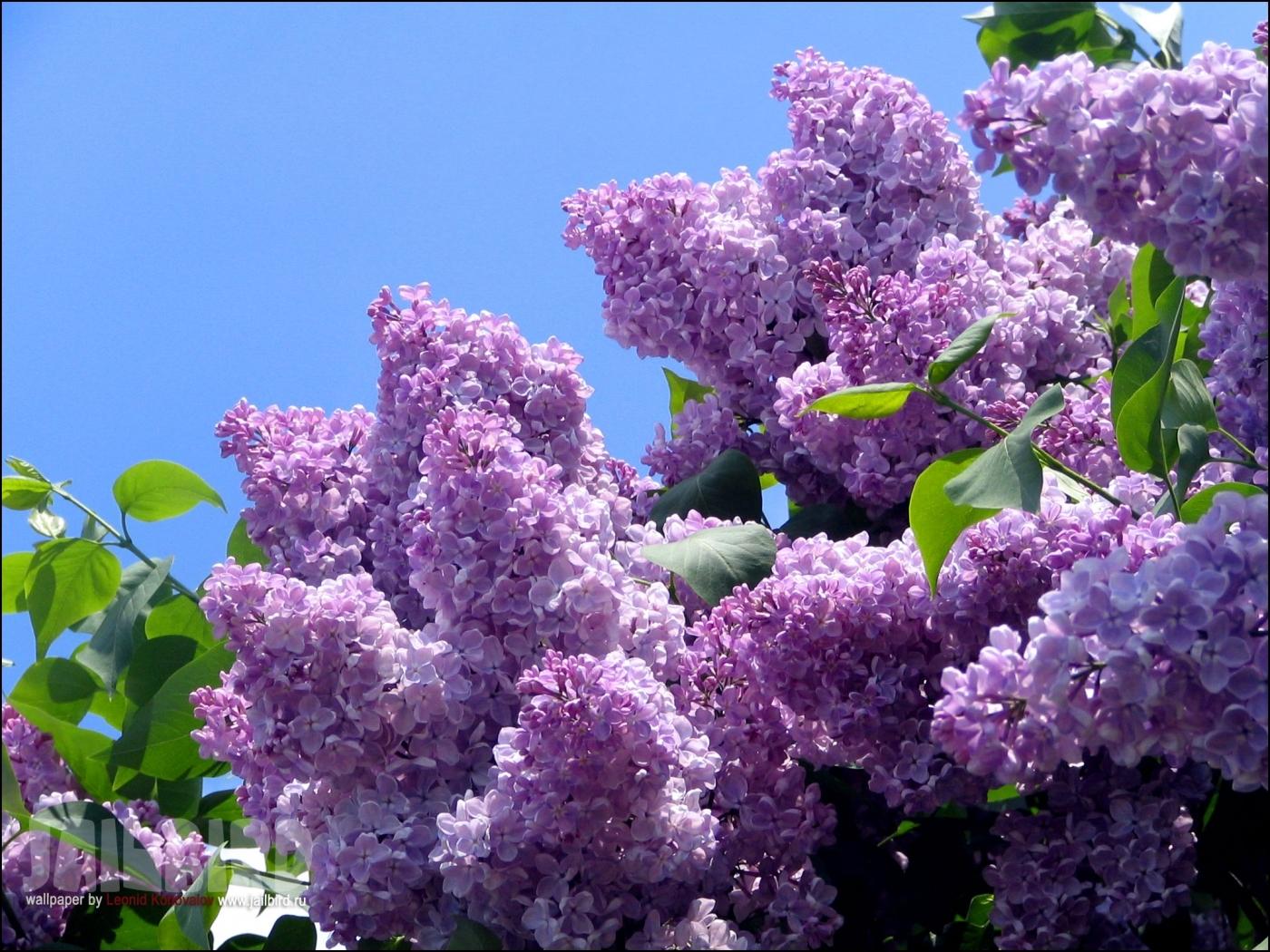 25666 скачать обои Деревья, Цветы, Растения, Сирень - заставки и картинки бесплатно
