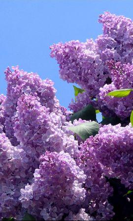 25666 baixar papel de parede Plantas, Flores, Árvores, Lilás, Violeta - protetores de tela e imagens gratuitamente