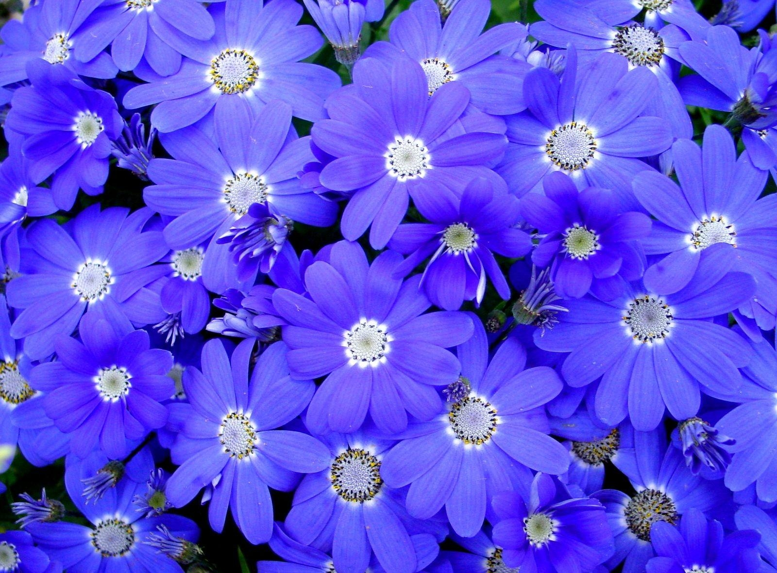 91938 descargar fondo de pantalla Flores, Brillante, Pétalos, Vistoso, Cineraria, De Color: protectores de pantalla e imágenes gratis