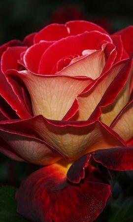 50072 descargar fondo de pantalla Plantas, Flores: protectores de pantalla e imágenes gratis