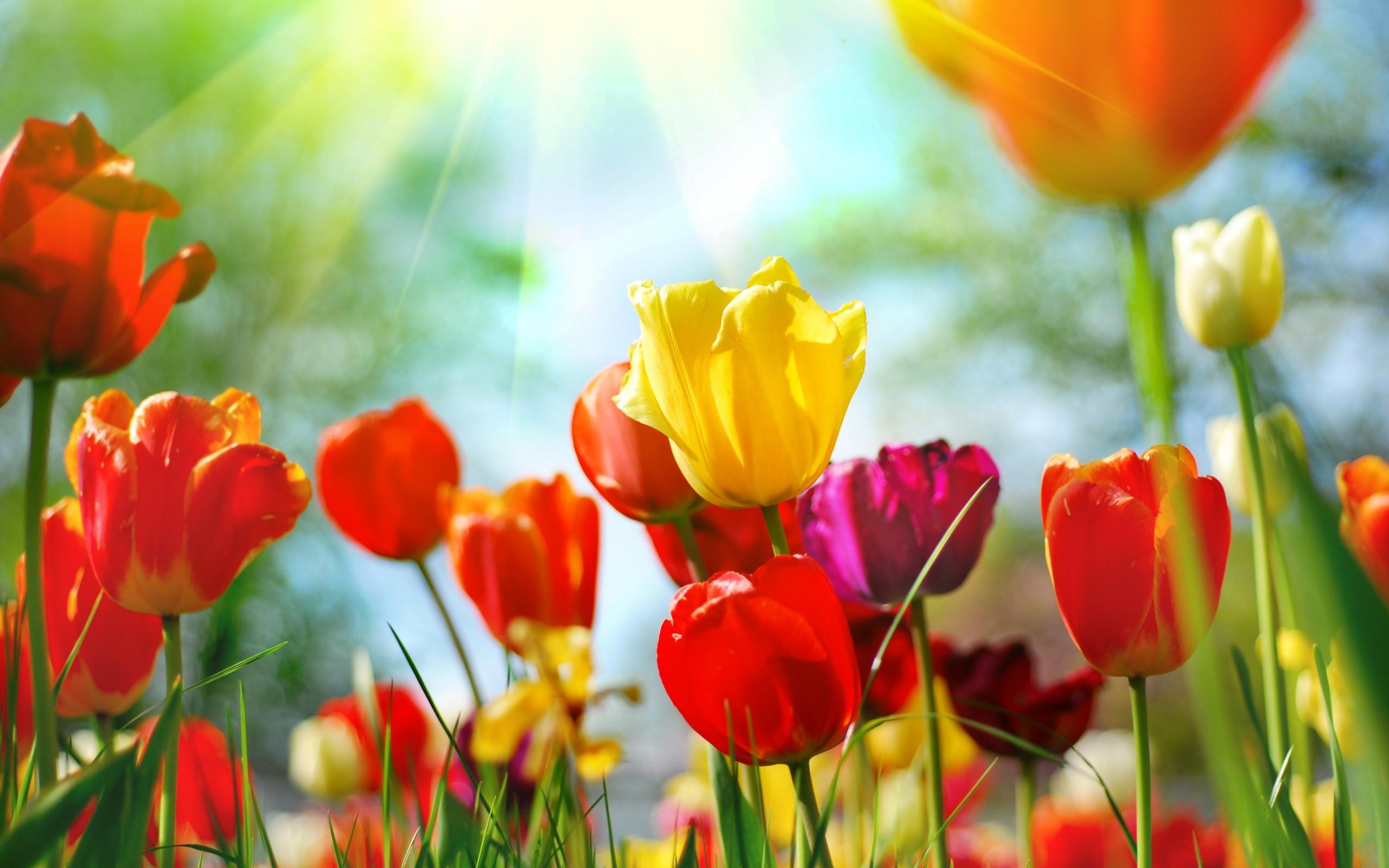 50251 скачать обои Растения, Цветы, Тюльпаны - заставки и картинки бесплатно