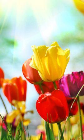 50251 descargar fondo de pantalla Plantas, Flores, Tulipanes: protectores de pantalla e imágenes gratis