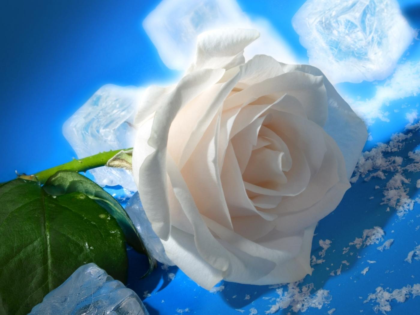 23993 télécharger le fond d'écran Plantes, Fleurs, Roses, Glace - économiseurs d'écran et images gratuitement