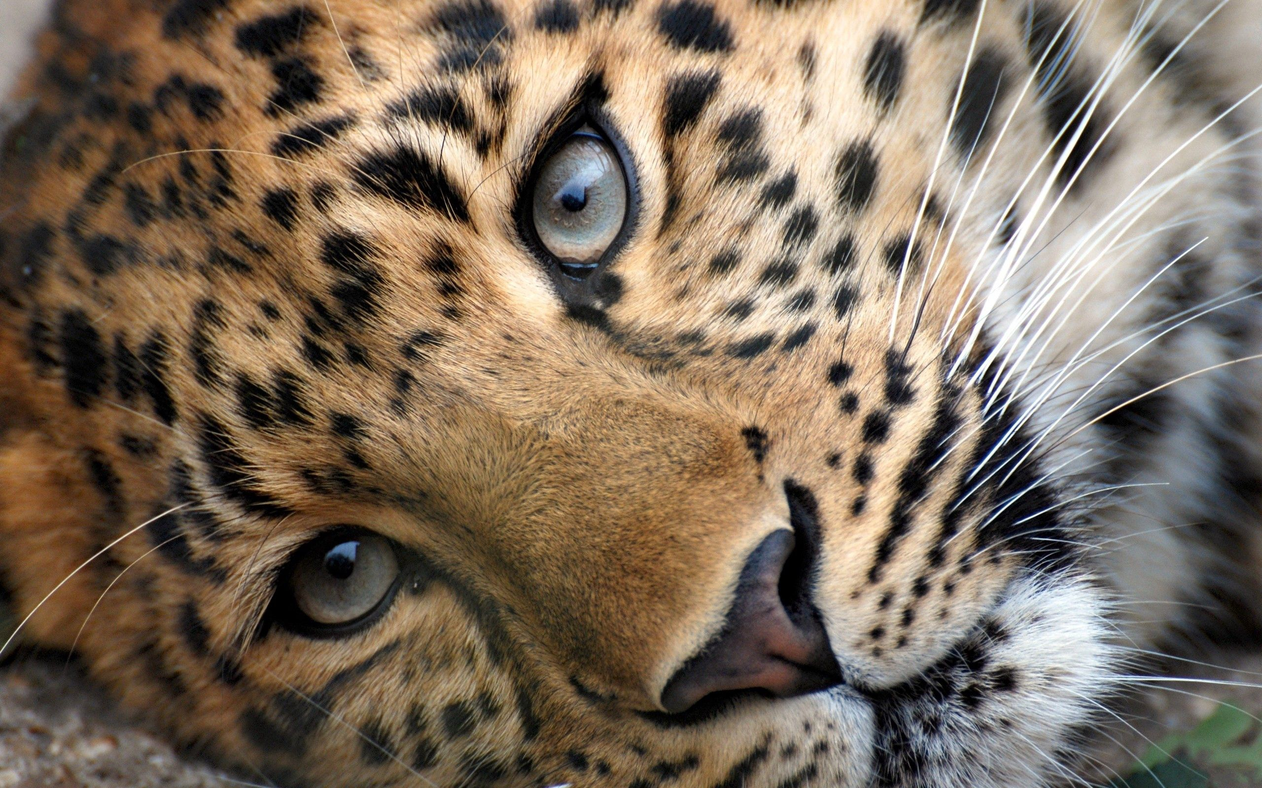 86154 download wallpaper Animals, Leopard, Muzzle, Eyes, Relaxation, Rest, Grass, Nice, Sweetheart screensavers and pictures for free