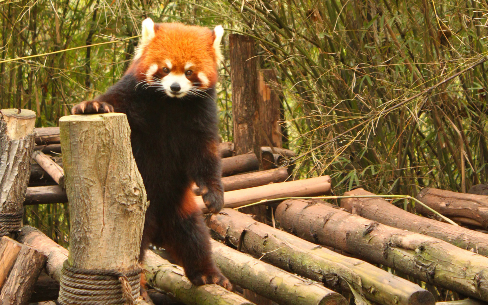 37052 download wallpaper Animals, Pandas screensavers and pictures for free